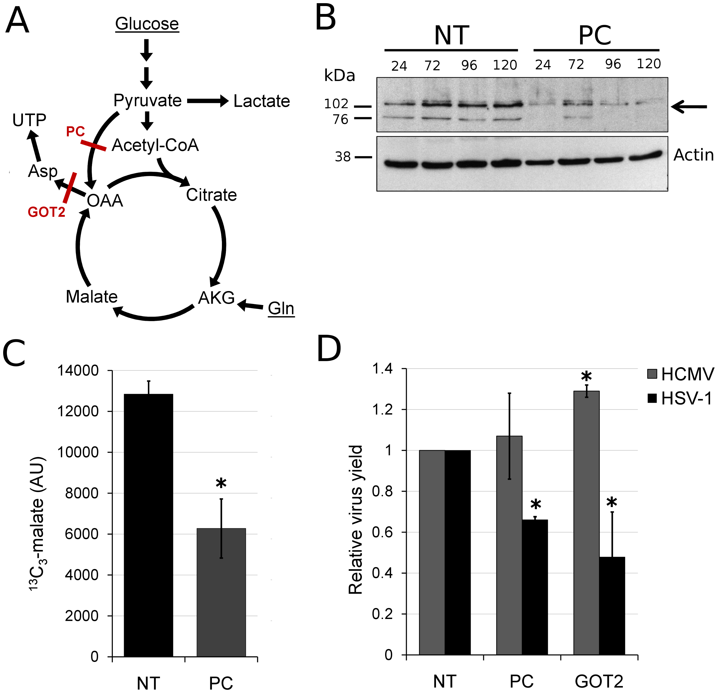 HSV-1 replication is inhibited by reducing flux from glucose toward pyrimidine nucleotide synthesis.
