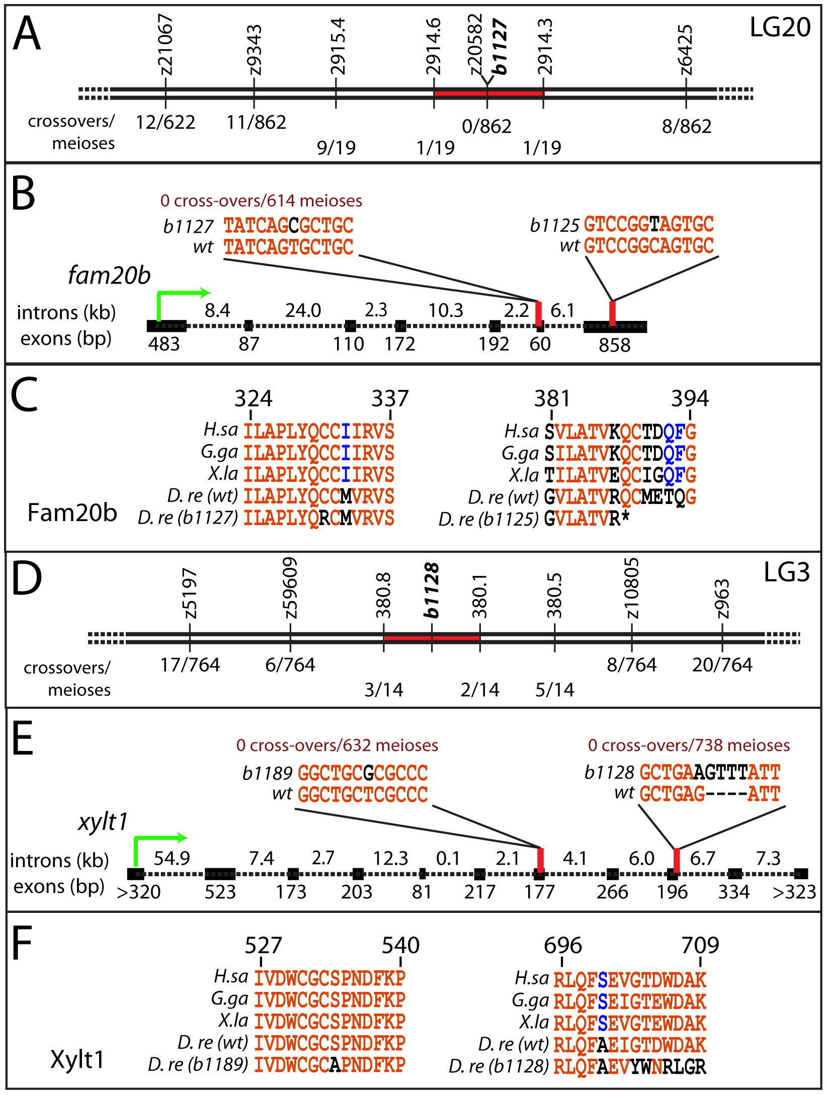 Mapping the mutants reveals lesions in <i>fam20b</i> and <i>xylt1</i>.