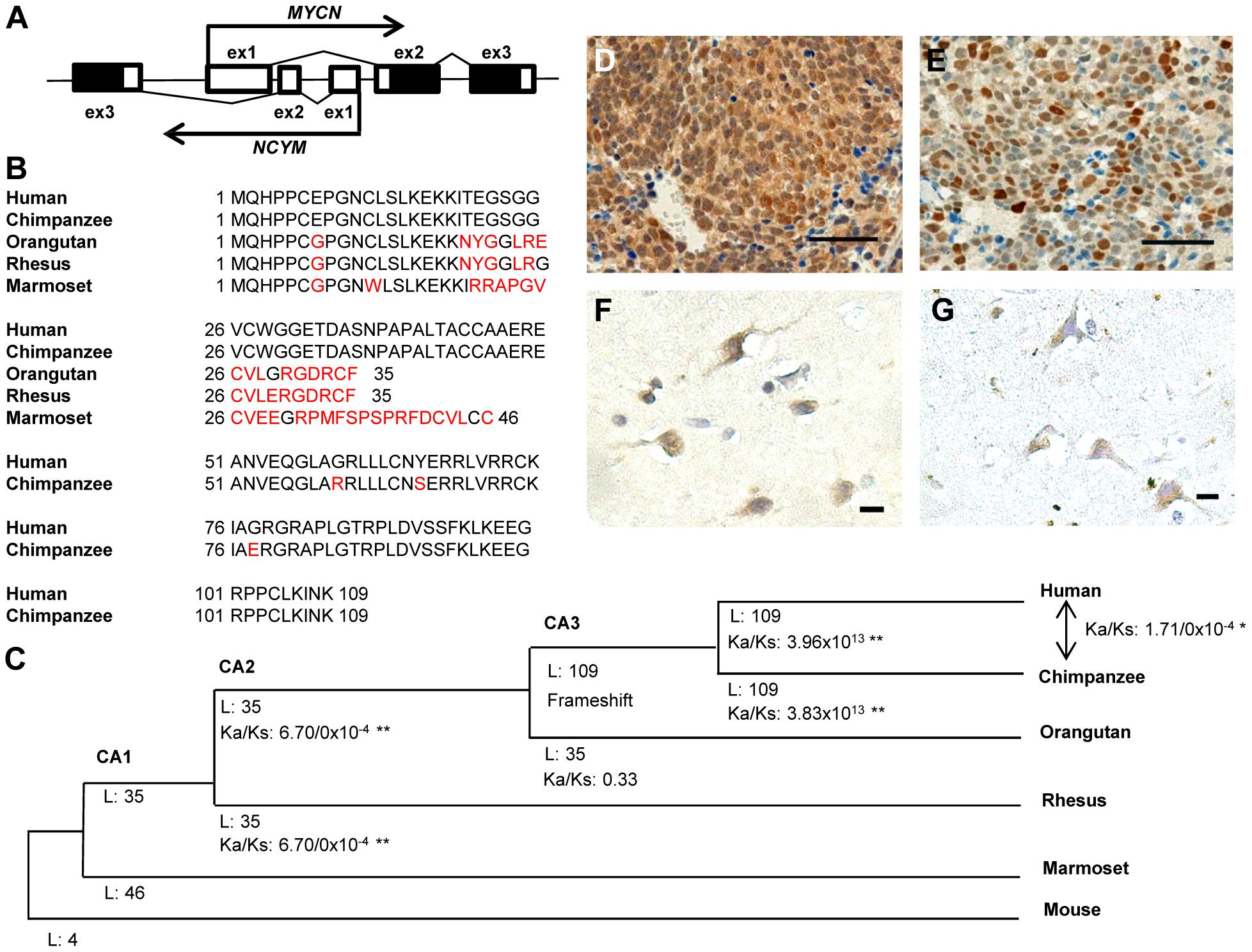 <i>NCYM</i> encodes a <i>de novo</i> evolved protein in humans.