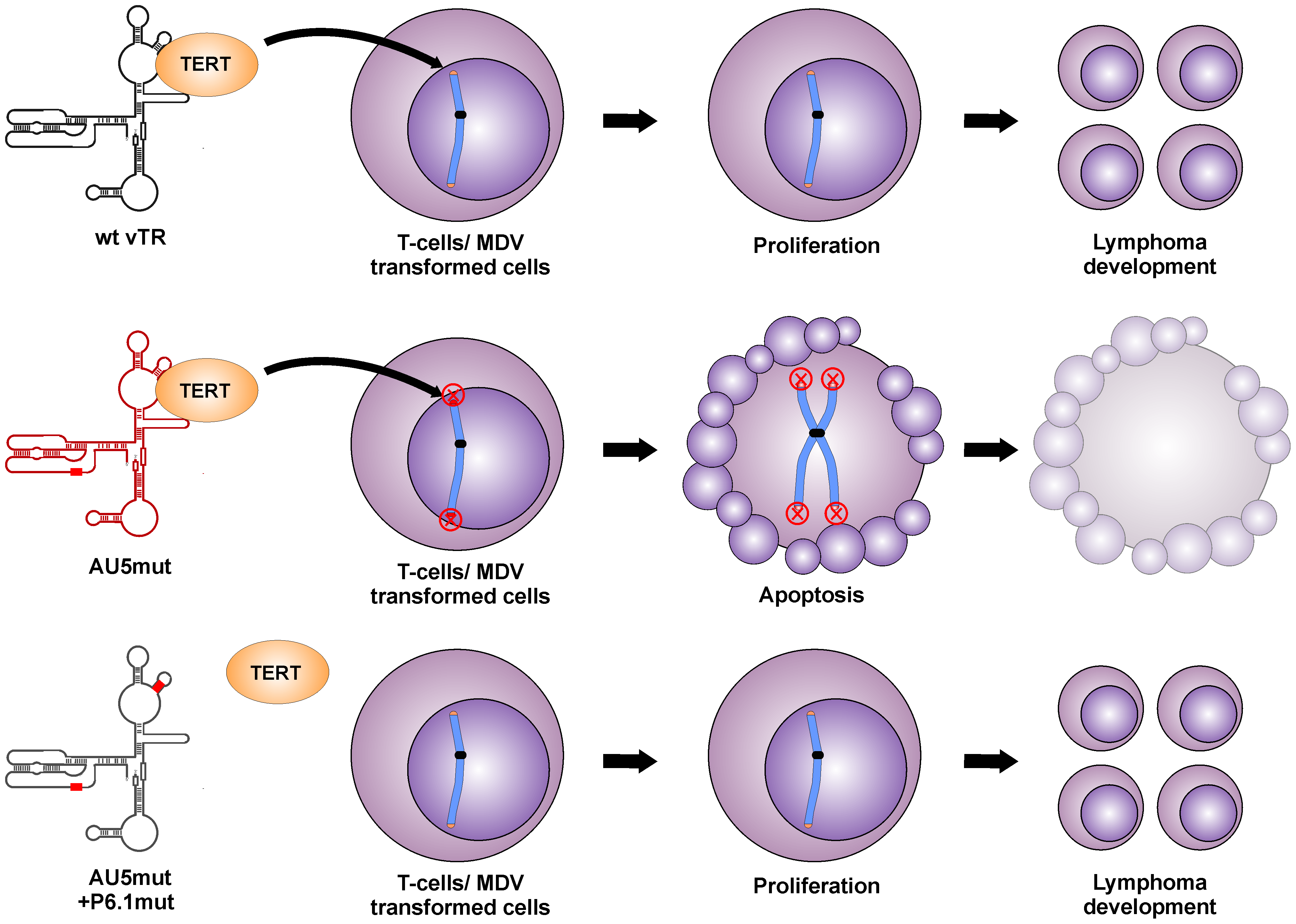 Proposed model for abrogation of tumor induction by mutant template sequence vTR through incorporation of mutant telomere sequences in transformed T cells.