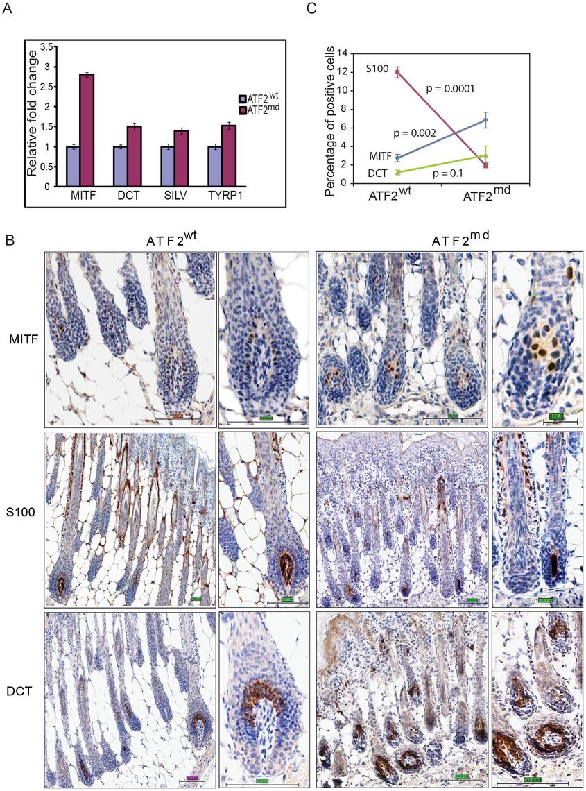 ATF2 negatively regulates MITF in melanocytes.
