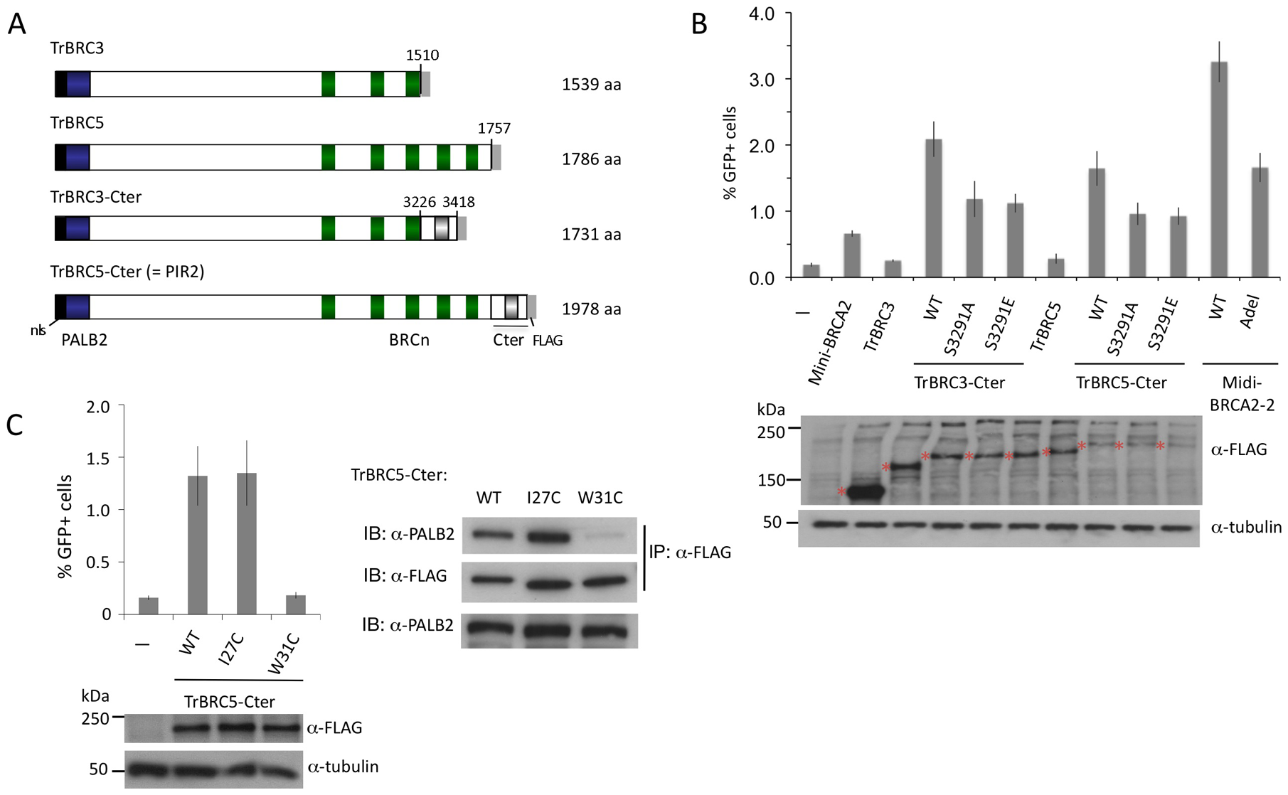 BRCA2 DBD is not required for HR in peptides that bind PALB2.