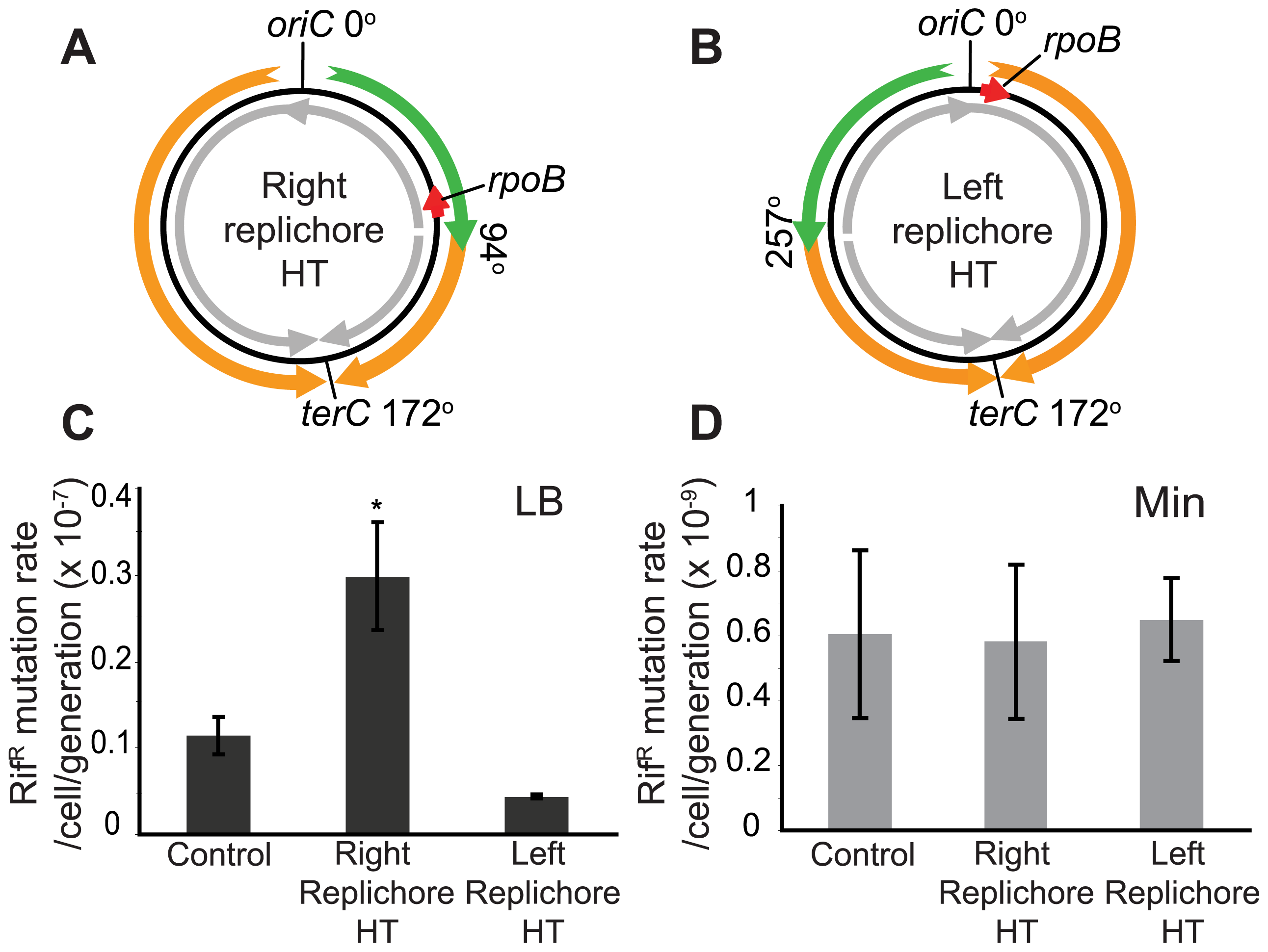 Increased mutation rate of a gene within the inversion in the HT strain.