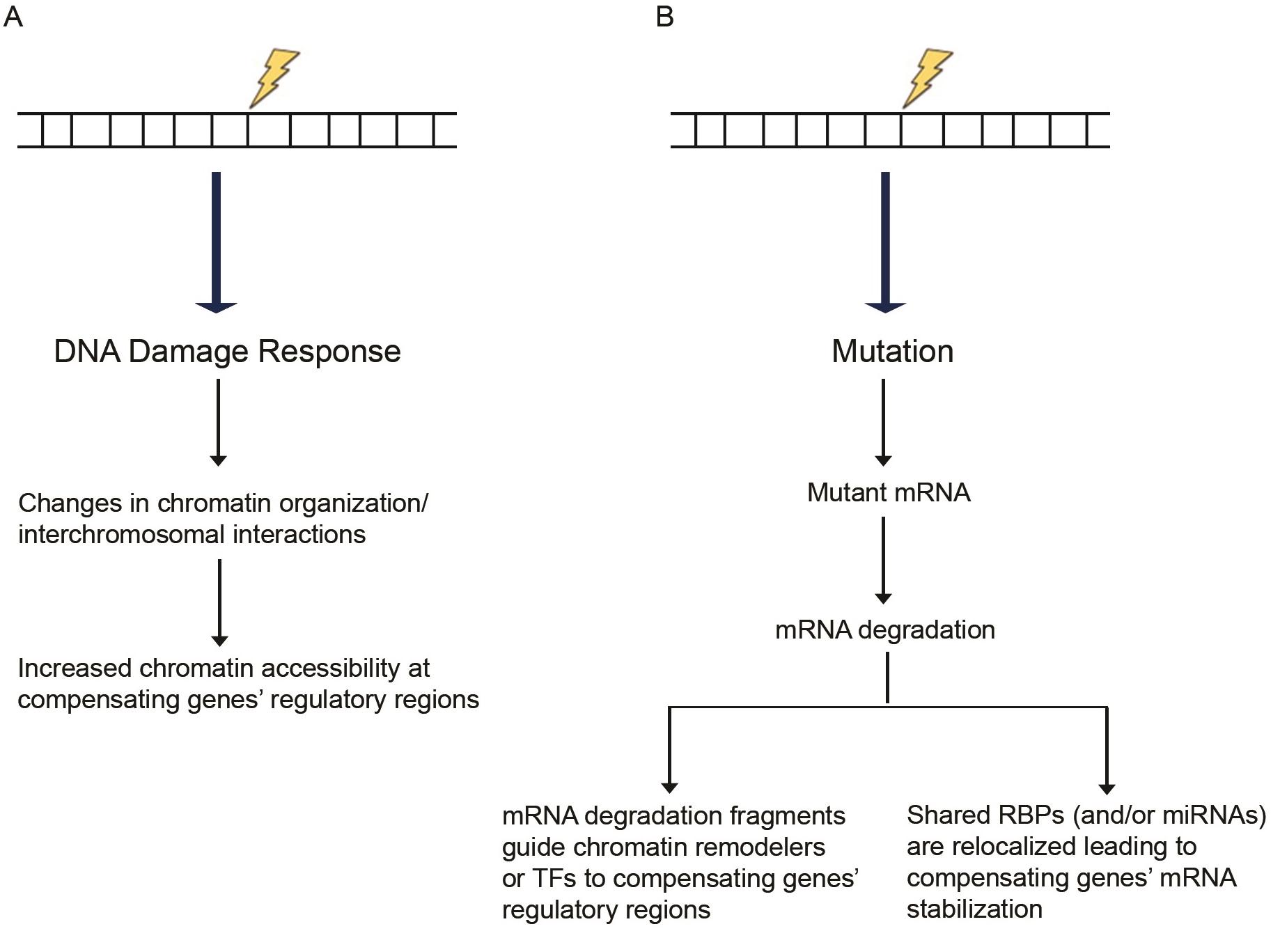 Proposed models of transcriptional adaptation.