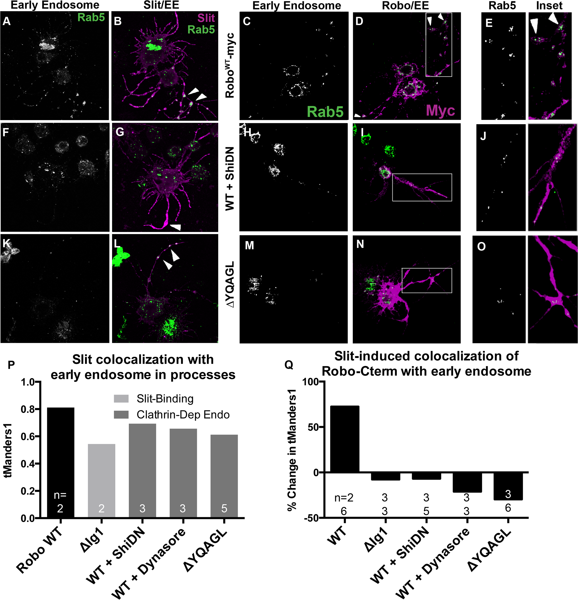 Slit induces Robo colocalization with Rab5 in cell processes.