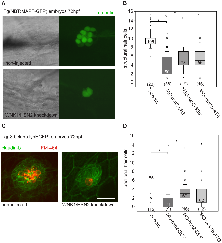 WNK1/HSN2 knockdown leads to abnormal neuromast development.