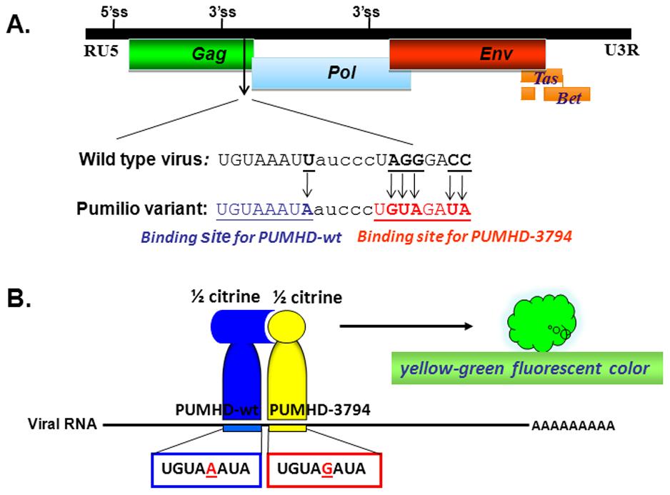 Schematic presentation of the pumilo-based BIFC system designed for pcPFV/gag-pum.