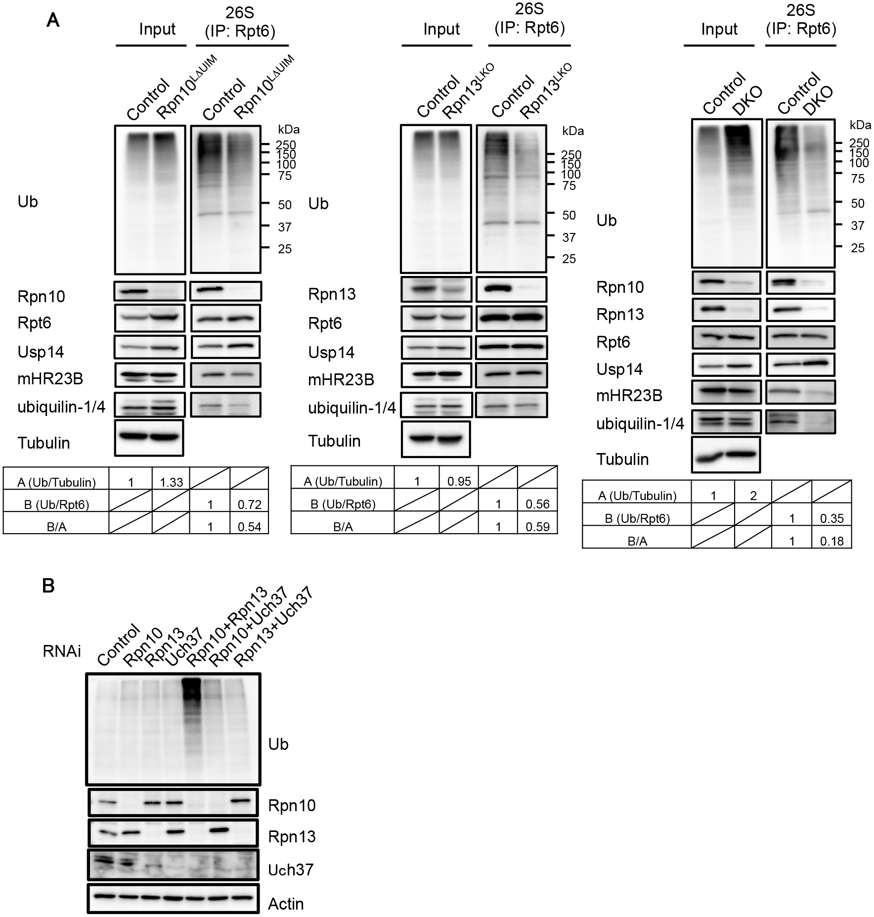 Defective binding of ubiquitinated and UBL-UBA proteins to Rpn10ΔUIM/ΔRpn13 proteasomes.