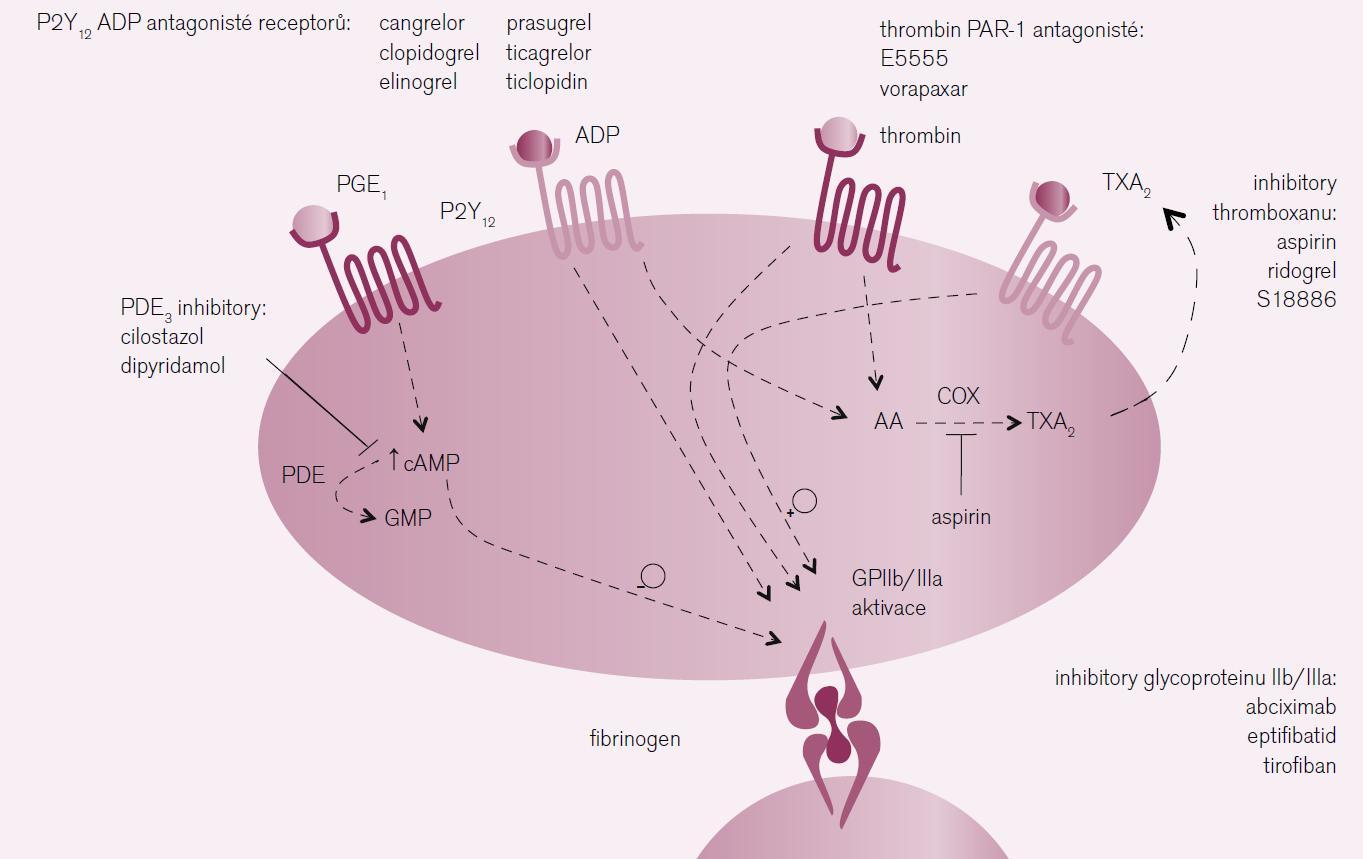 Mechanizmus účinku léků s antiagregačním působením.