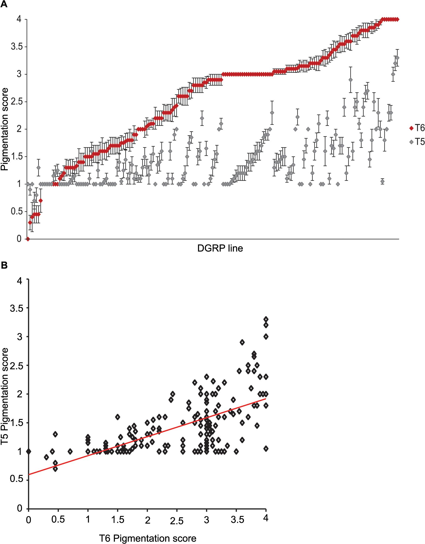 Natural variation in female abdominal pigmentation.
