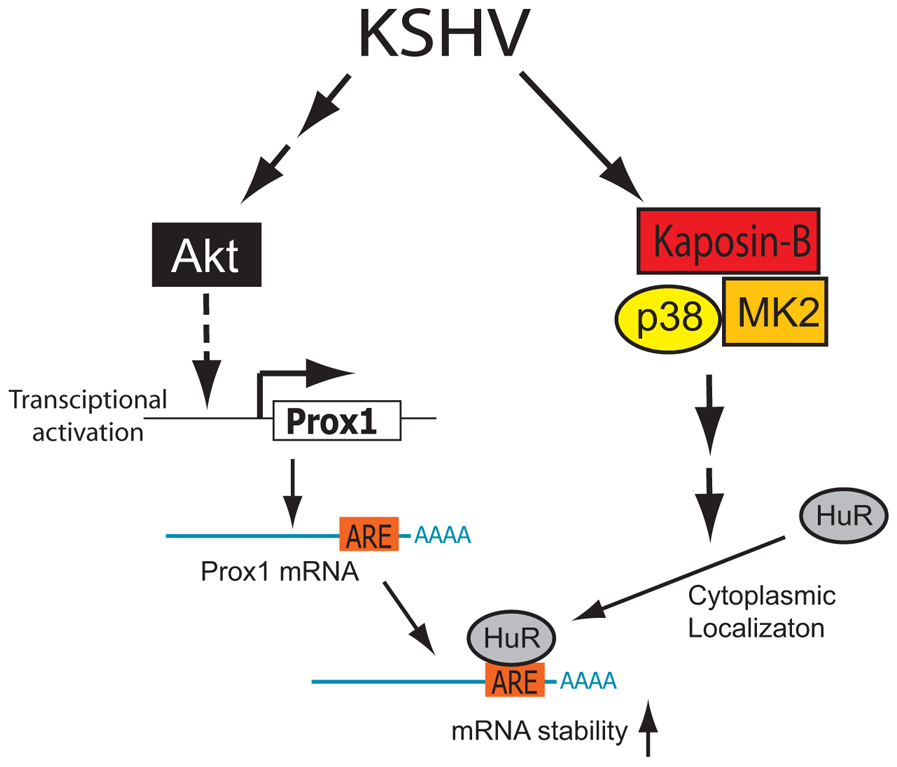 Proposed model of PROX1 mRNA stabilization and upregulation by KSHV and kaposin B.