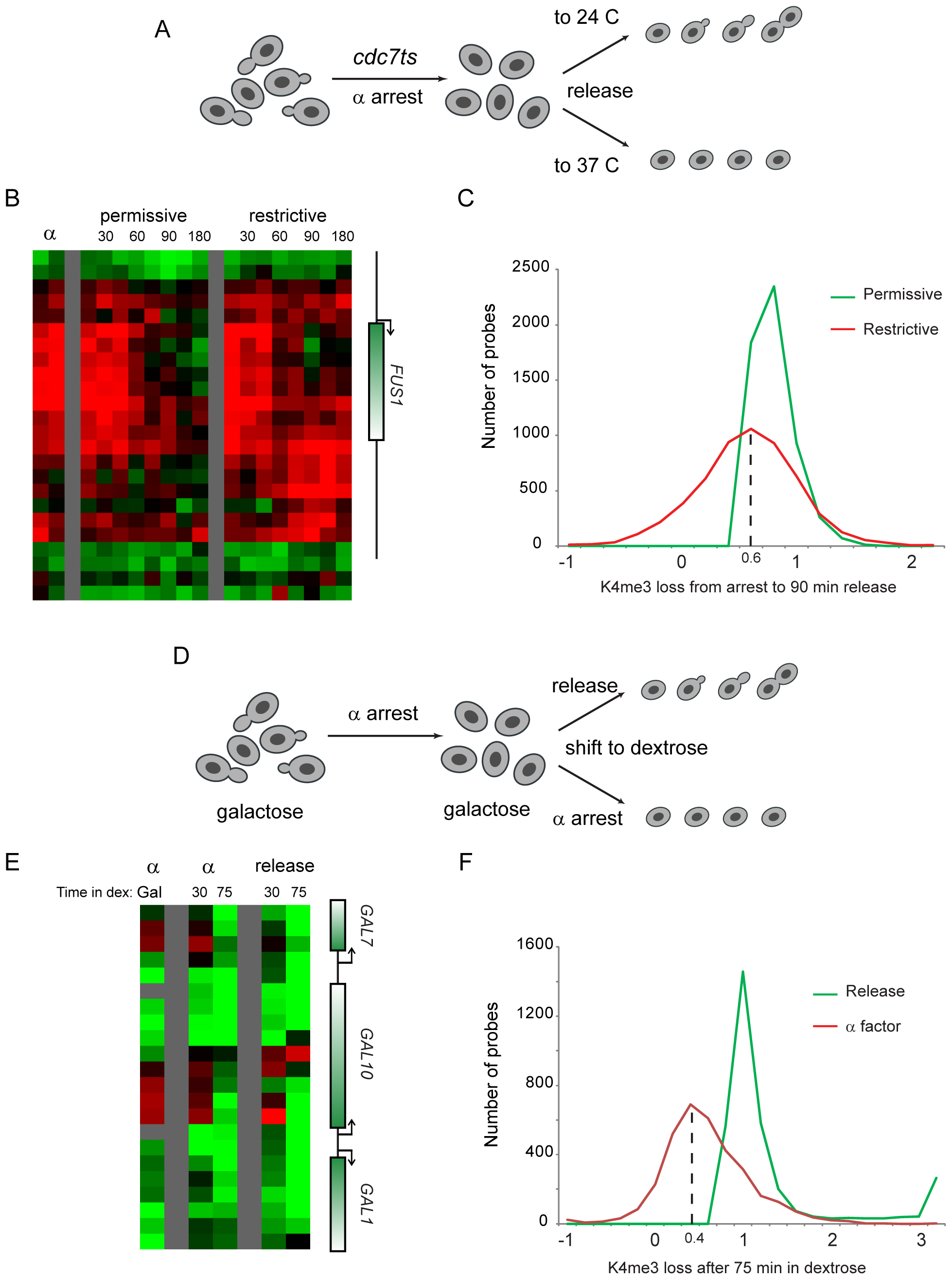 Replication is not required for loss of H3K4 methylation.