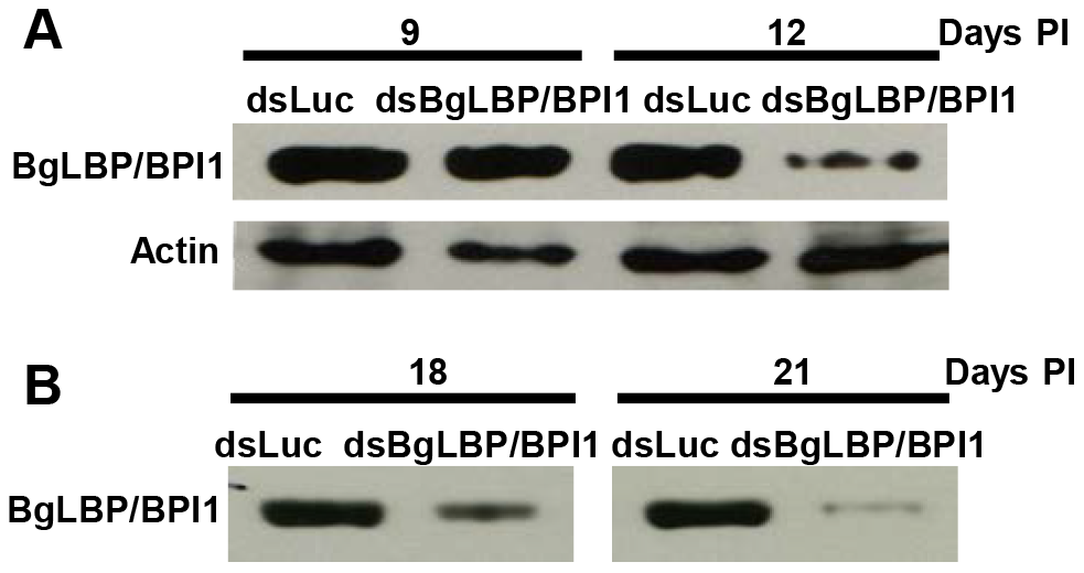 Injection of BgLBP/BPI1 dsRNA results in a substantial decrease in BgLBP/BPI1 protein in the albumen gland and in egg masses.