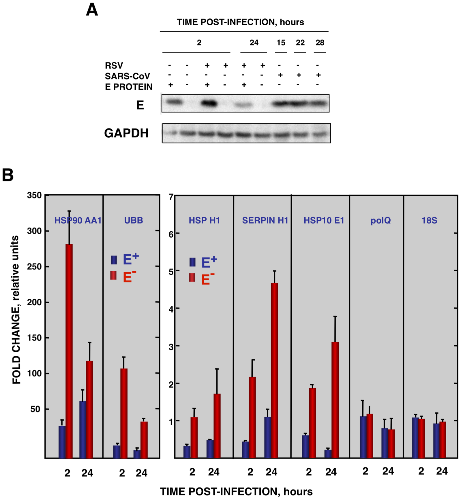 Effect of SARS-CoV E protein on the stress induced by RSV infection.