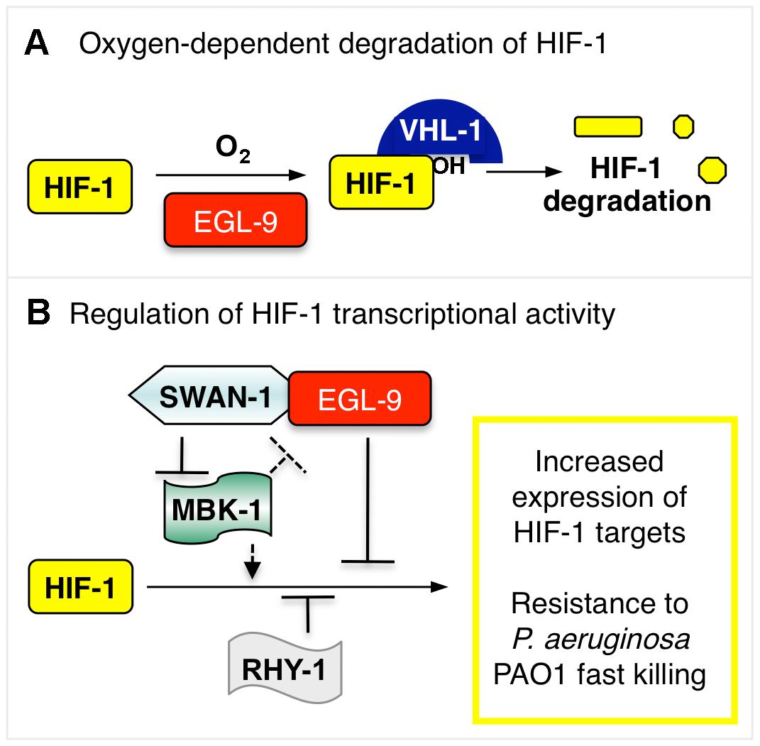 Model illustrating HIF-1 regulation.