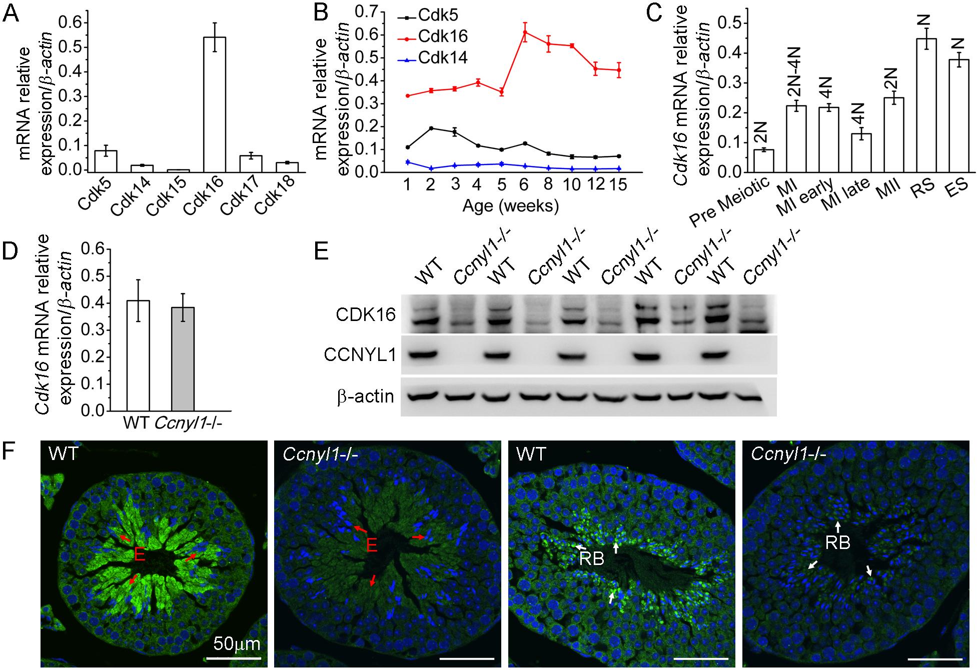 CDK16 protein level is decreased in <i>Ccnyl1</i>-/- testis.