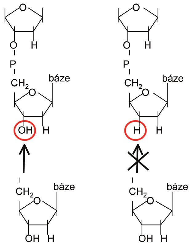 Rozdíl mezi 2-deoxynukleosidem a 2,3-dideoxynukleosidem. Vlevo: 2-deoxy (je možné začlenění dalšího nukleotidu na 3´-OH skupinu). Vpravo: 2,3-dideoxy (začlenění dalšího nukleotidu není možné z důvodu chybějící 3´-OH skupiny).