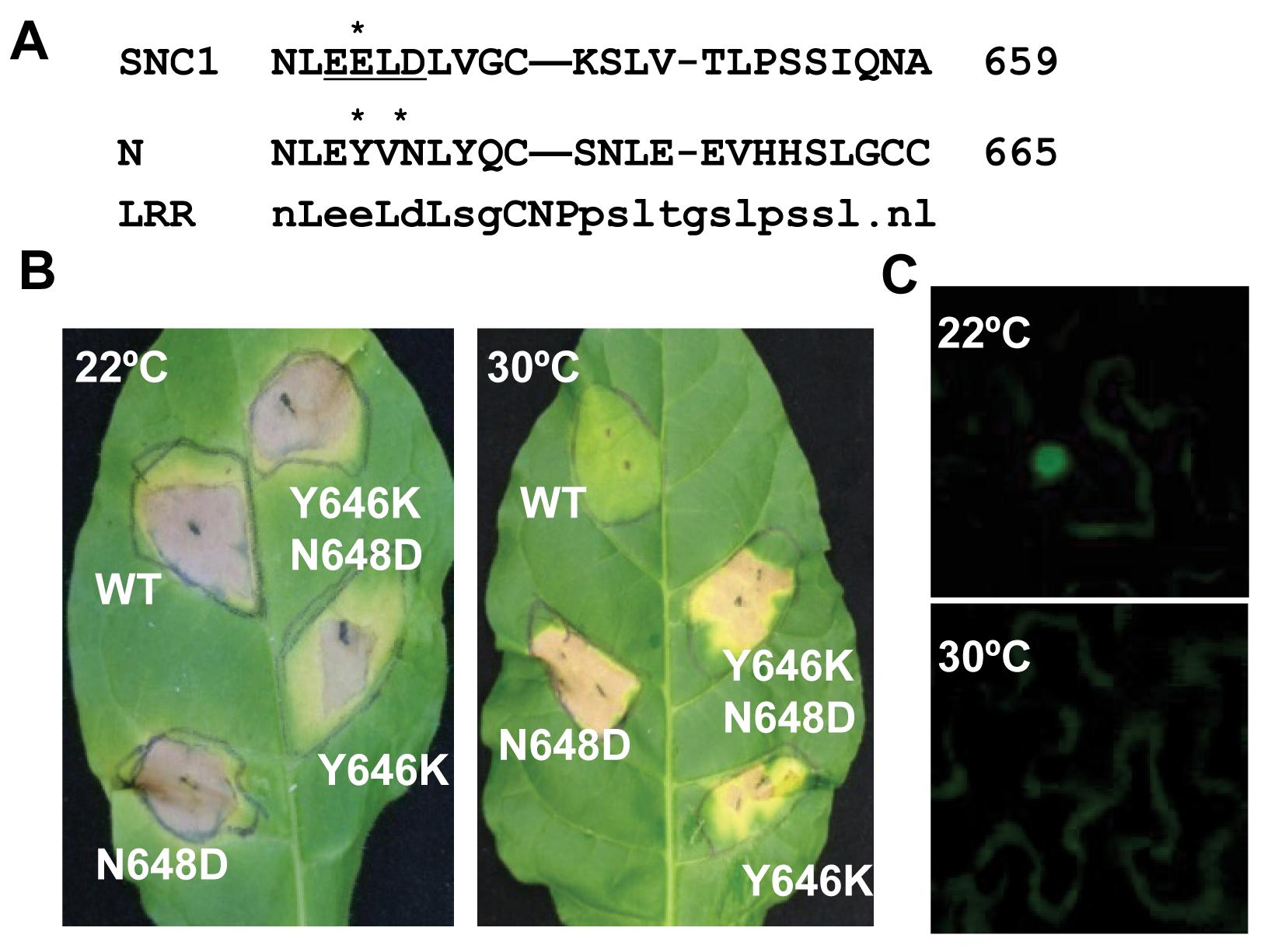 Mutant <i>N</i> genes induce defense responses at a high temperature.