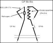 Schéma struktury glykoproteinového komplexu GP IIb/IIIa, volně podle [1].