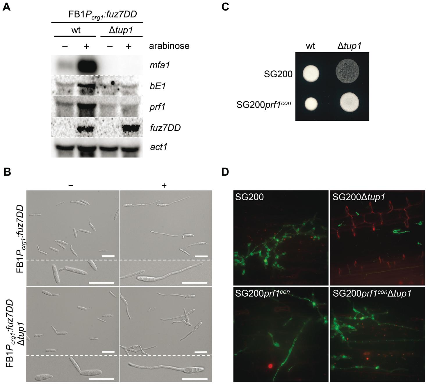 Tup1-dependent regulation of mating-type genes and <i>prf1</i> transcription factor.