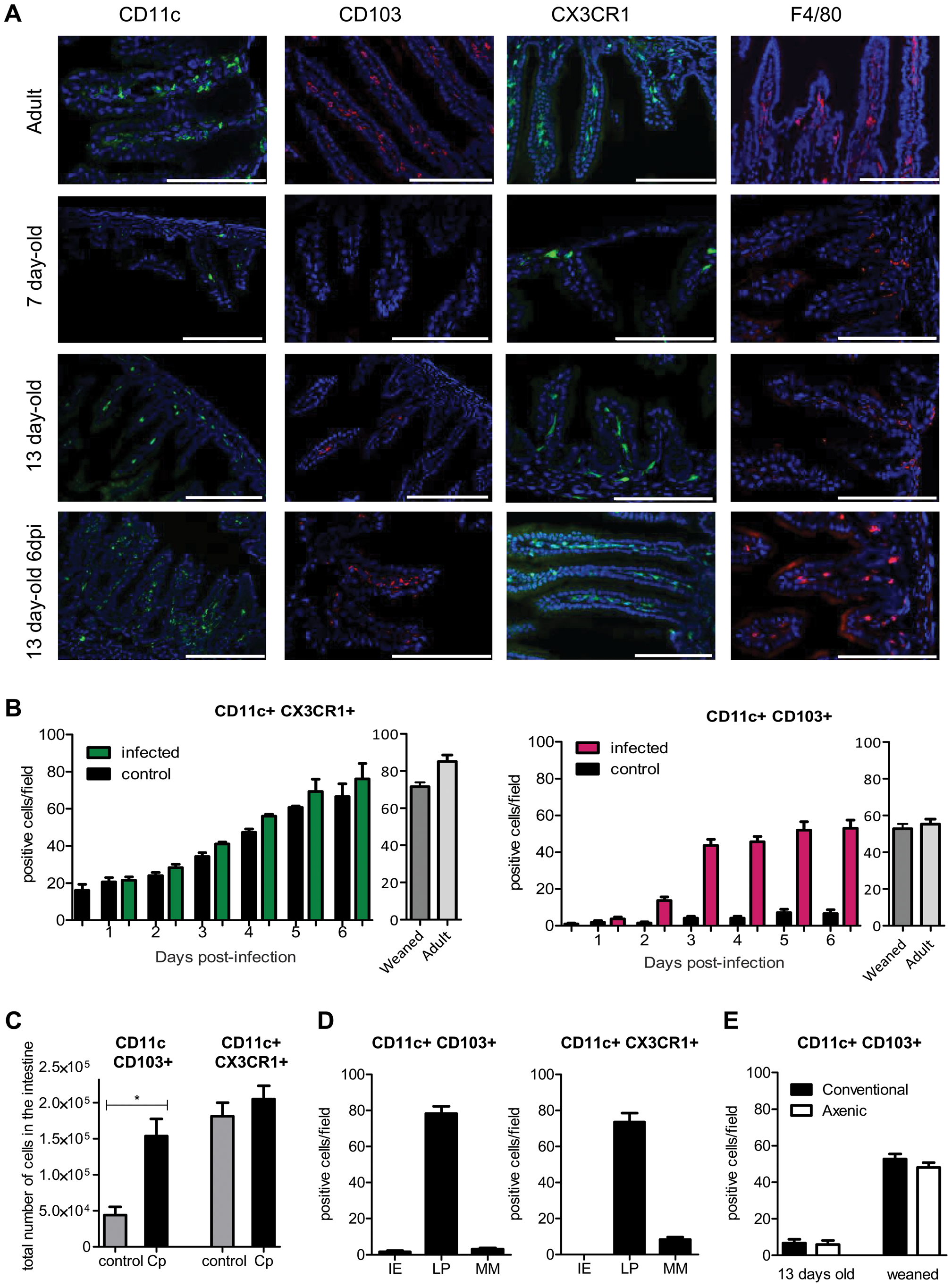 Rapid recruitment of CD11c+ CD103+ in the infected mucosa.