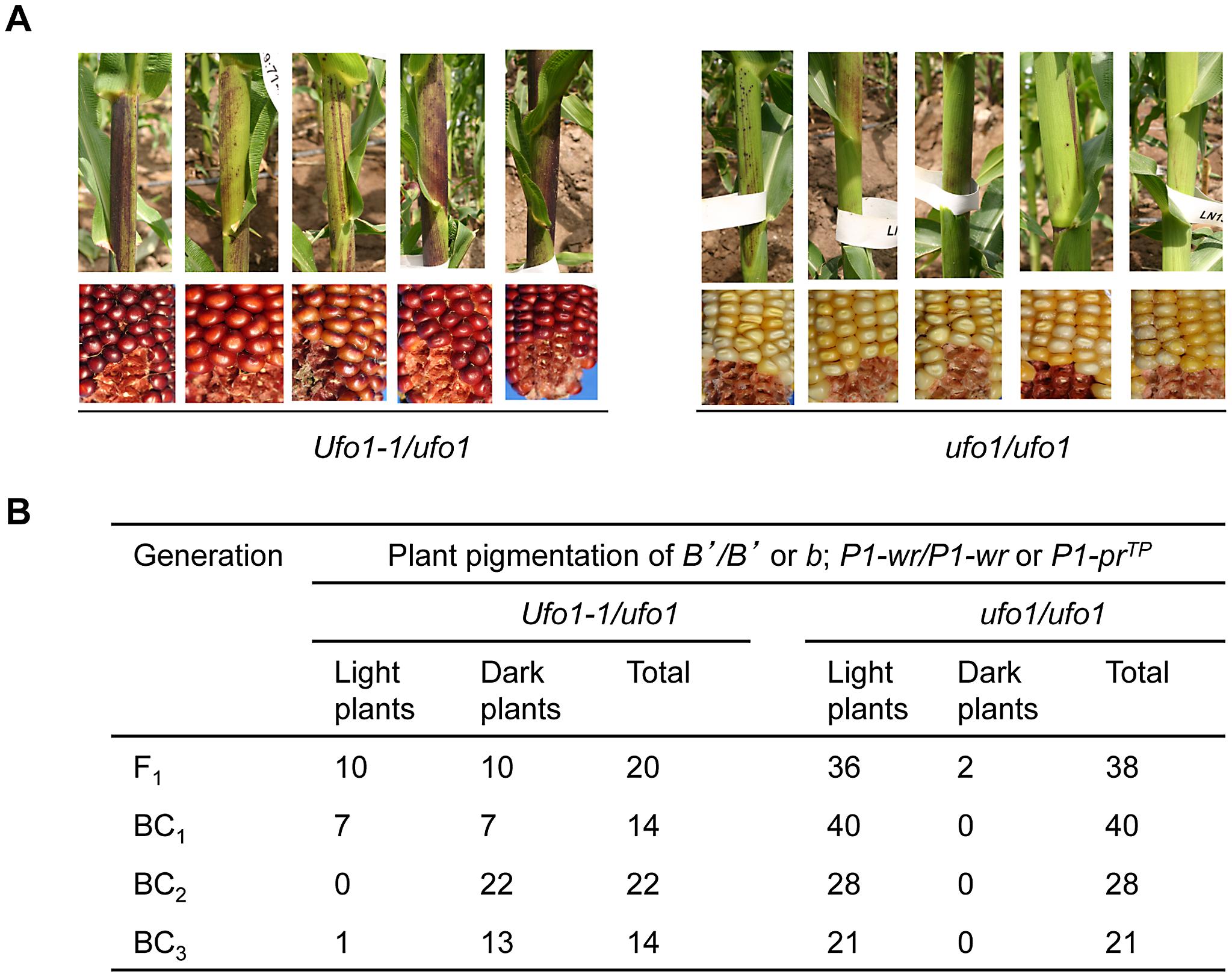 <i>Ufo1-1</i> increases <i>B′</i> pigmentation.