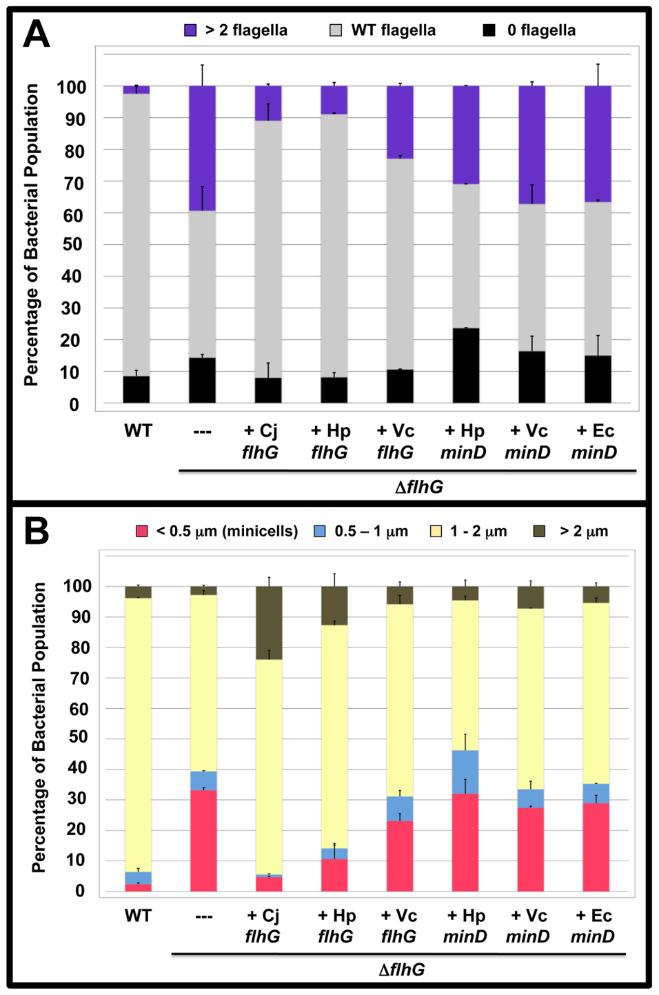 The polar flagellar number and minicell phenotypes of <i>C. jejuni</i> Δ<i>flhG</i> upon complementation <i>in trans</i> with <i>flhG</i> or <i>minD</i> orthologs.