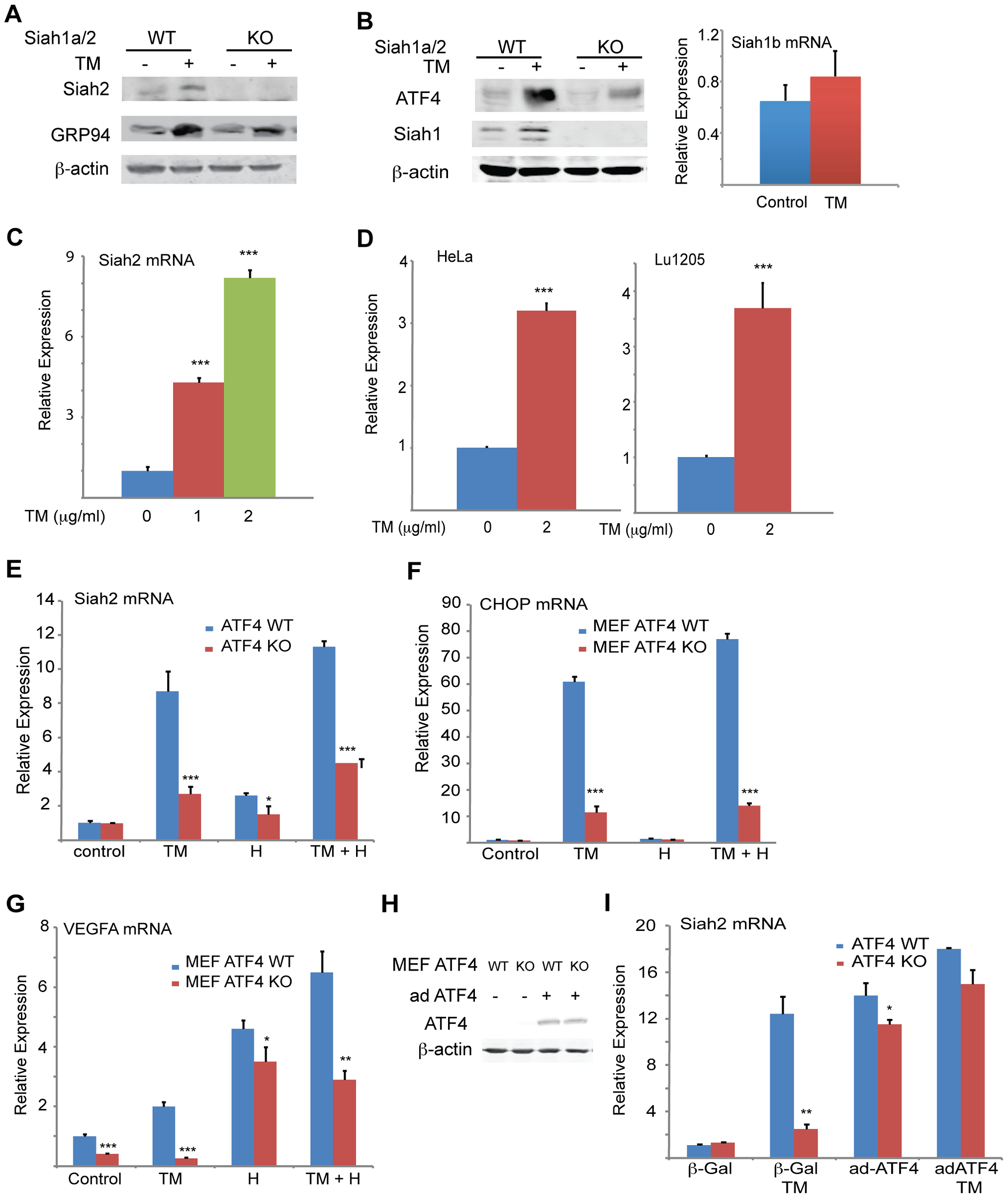 UPR induction of Siah1/2 RNA and protein is ATF4-dependent.