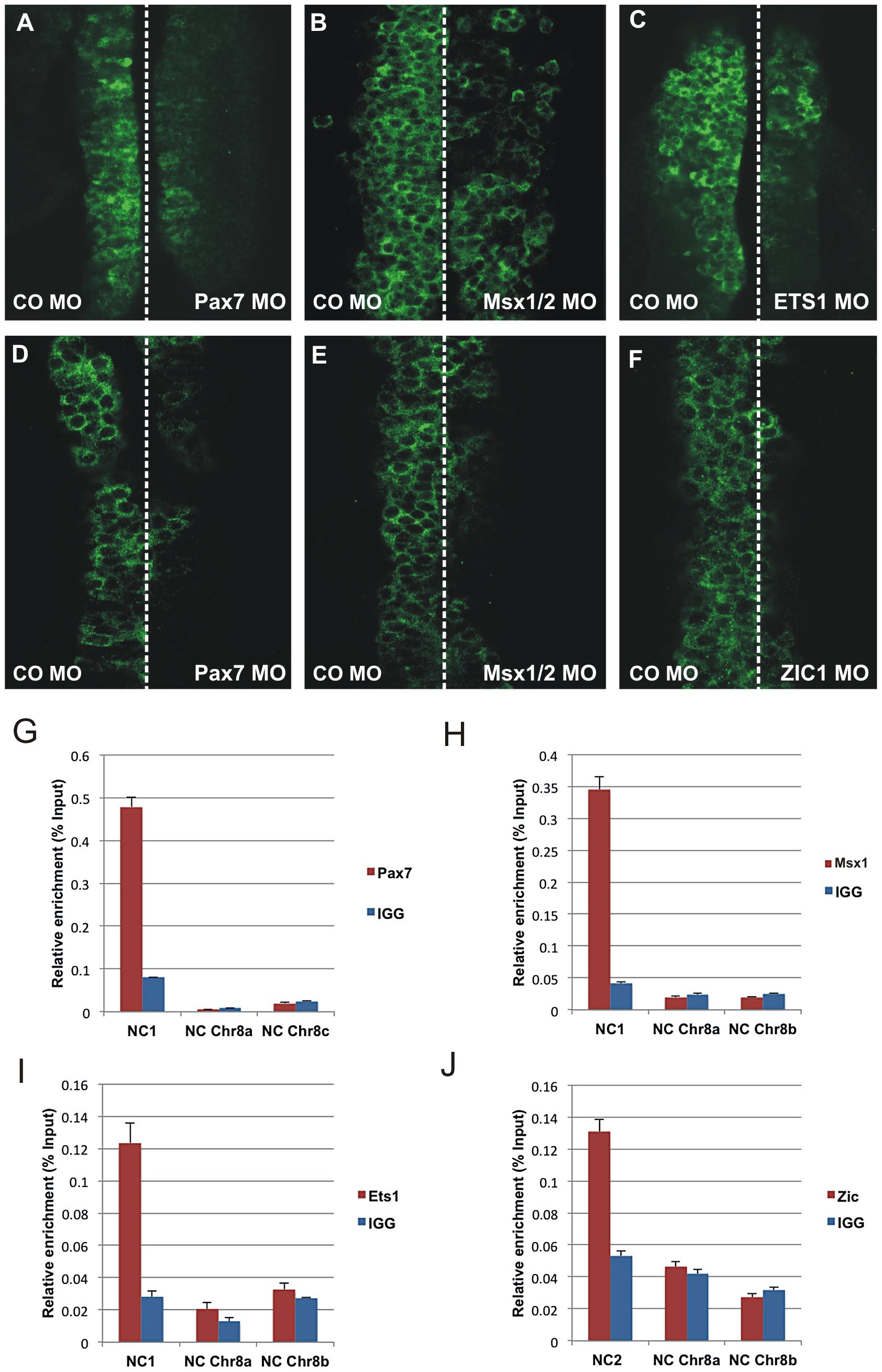 Effect of morpholino-mediated knockdown and chromatin immunoprecipitation.