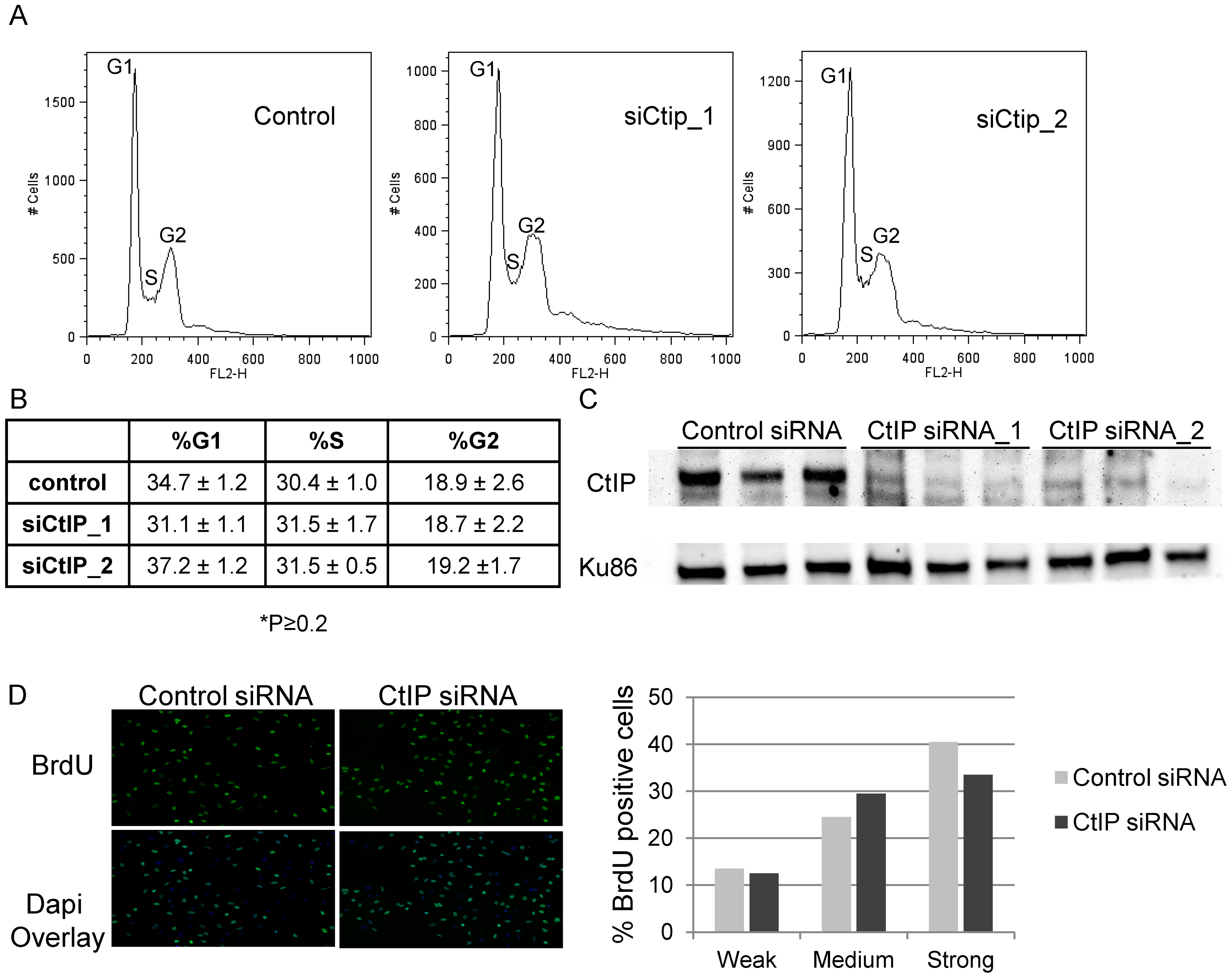 Effects of depletion of CtIP on cell cycle and BrdU incorporation.