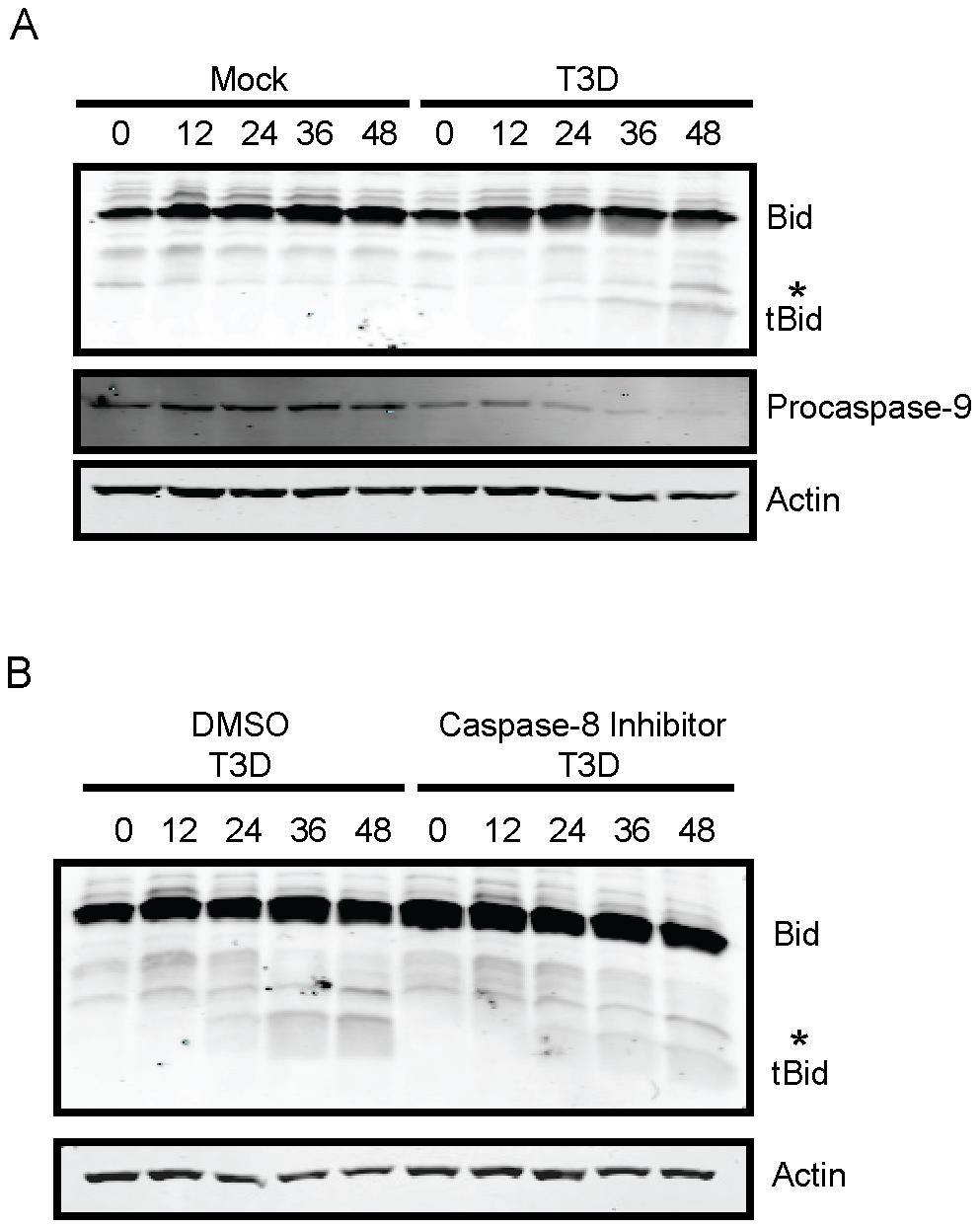 Bid is cleaved following reovirus infection of murine fibroblasts.