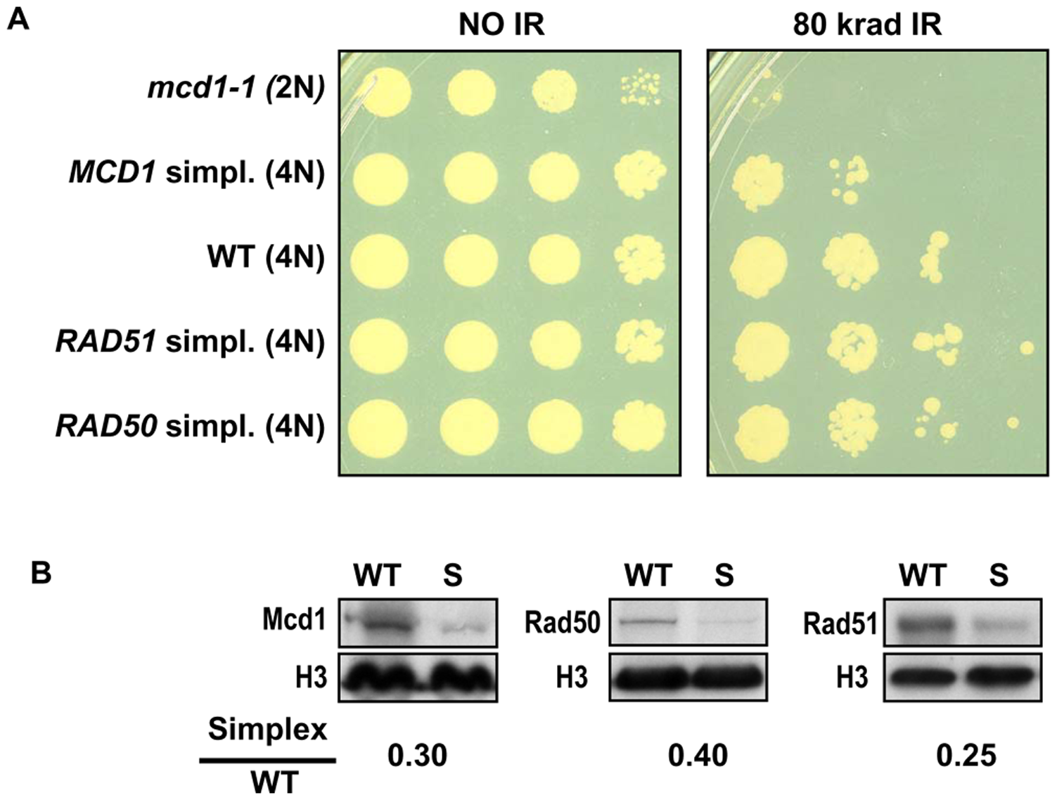 Cells that are simplex for <i>MCD1</i>, but not <i>RAD50</i> or <i>RAD51</i>, are sensitive to ionizing radiation.