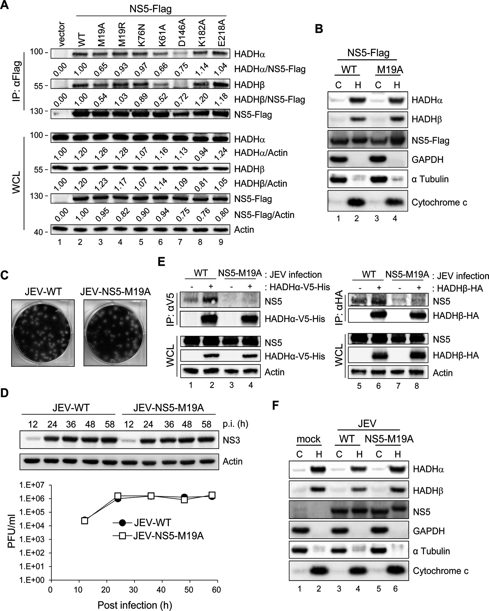NS5 with mutation on residue 19 (M19A) showed reduced binding ability with MTP.