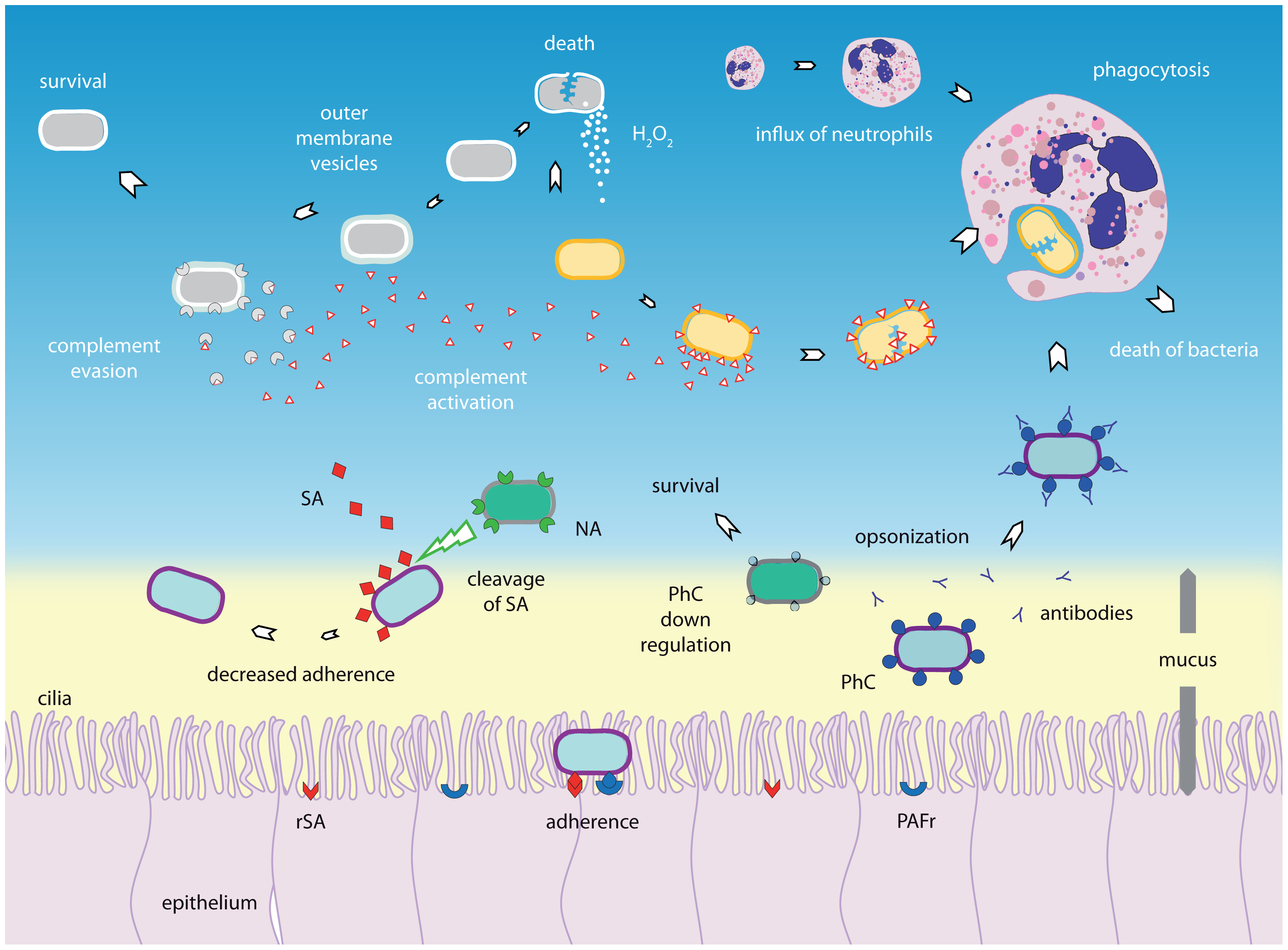 Bacterial–bacterial interactions.