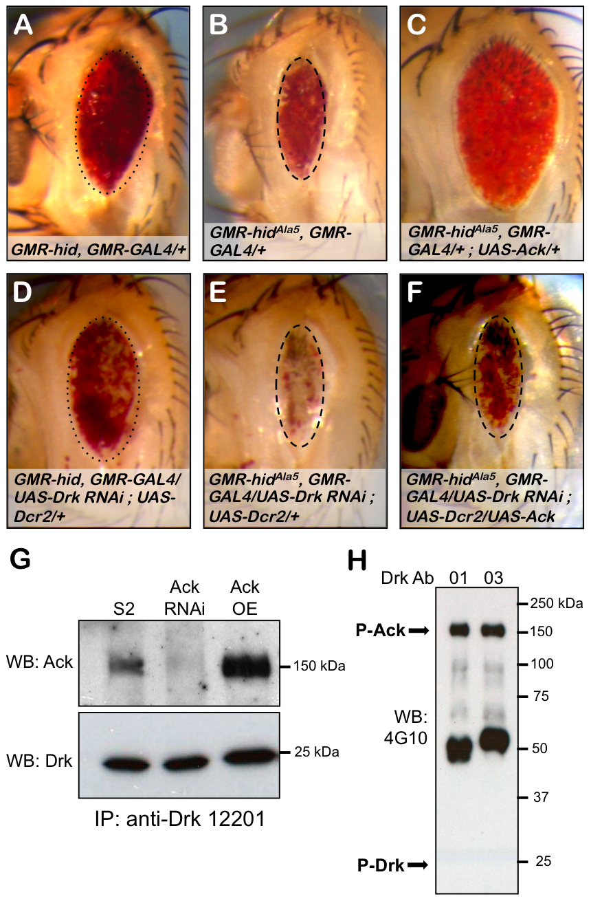 Drk is required for Ack anti-apoptotic activity.