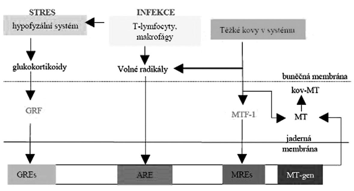 Schéma indukce genu MT.