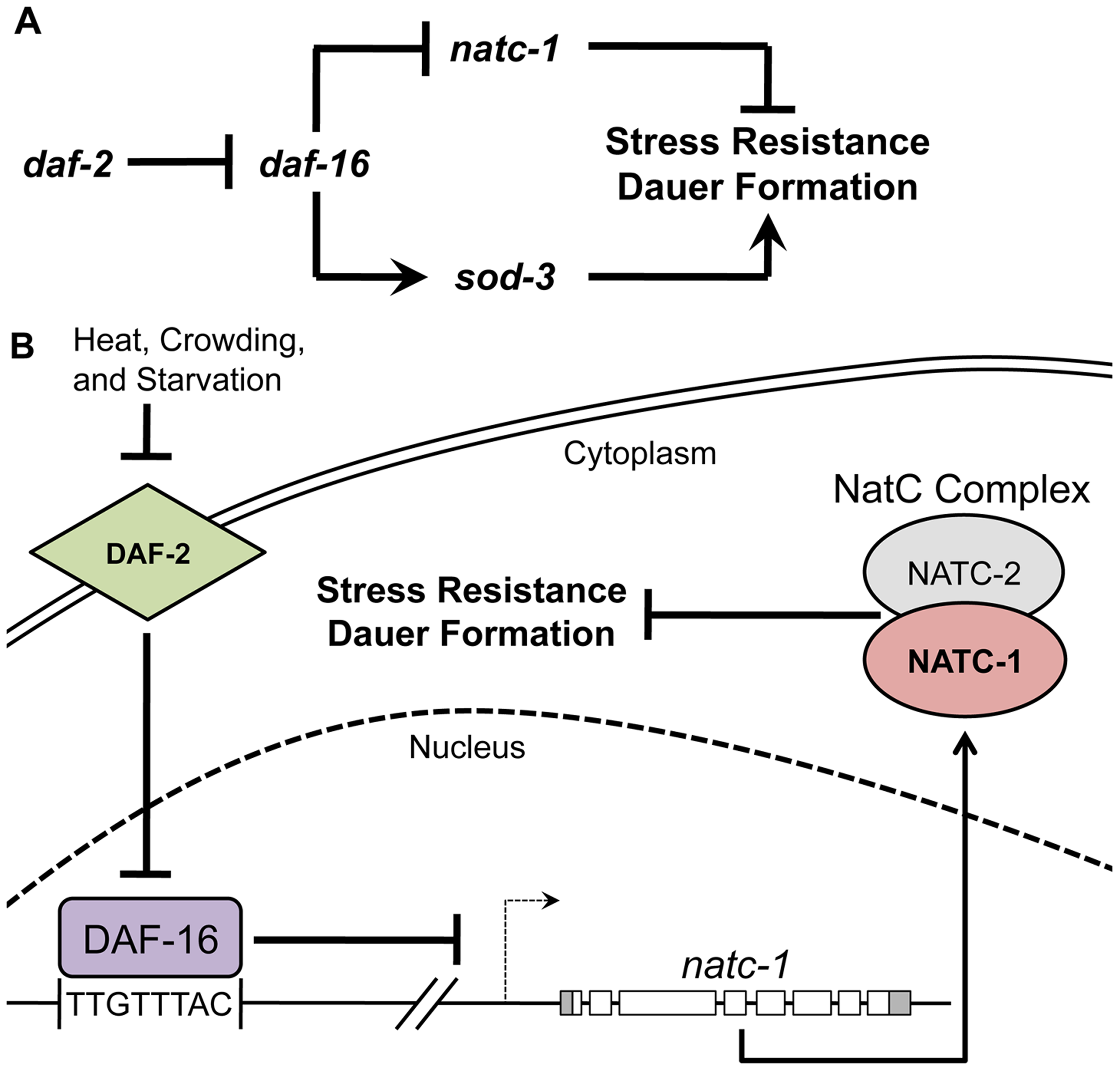 <i>natc-1</i> is a physiologically significant downstream effector of the insulin/IGF-1 signaling pathway.