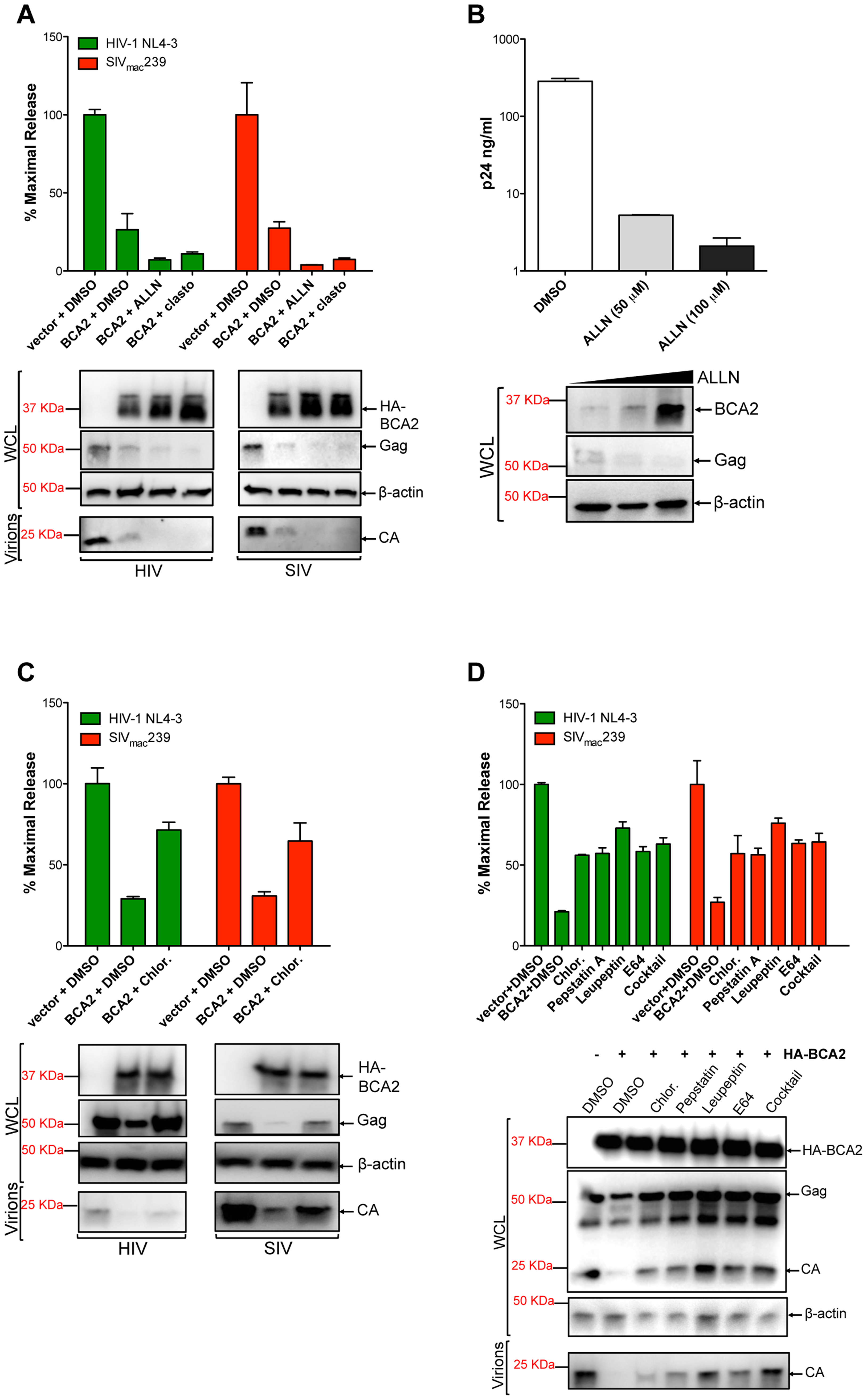 BCA2 promotes the lysosomal degradation of HIV-1 and SIV Gag.