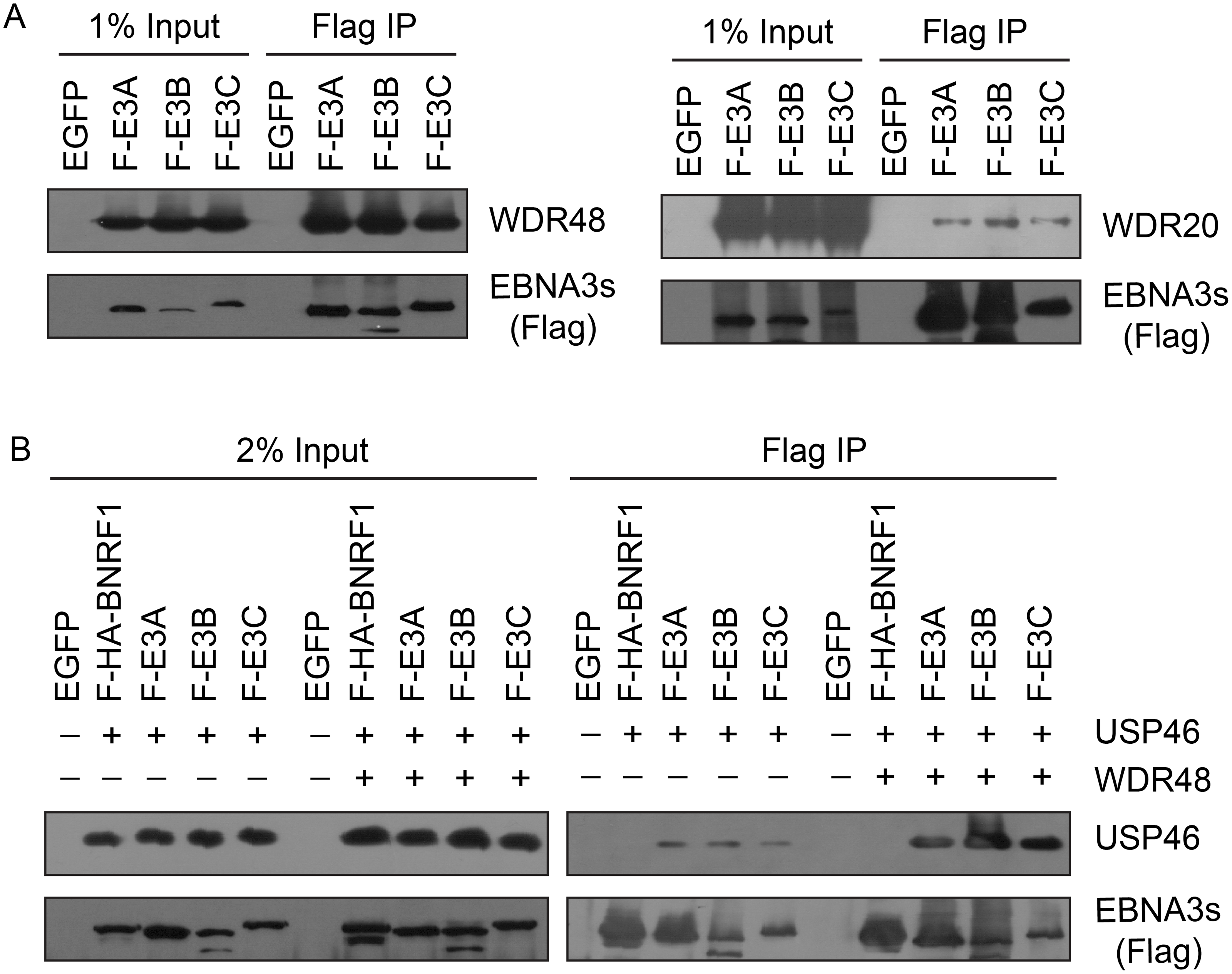 EBNA3 proteins preferentially bind the WDR48 subunit of the USP46 DUB complex.