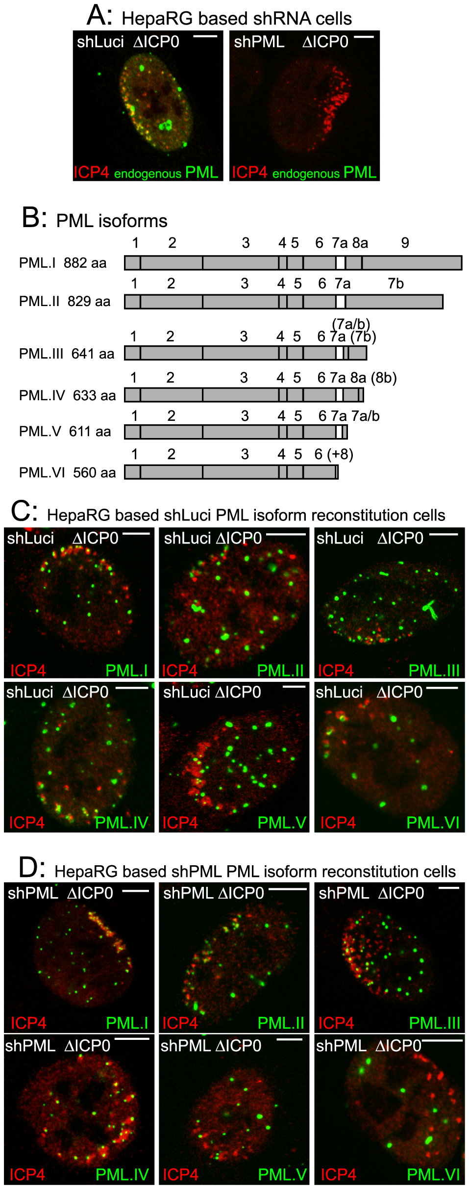 The major nuclear isoforms of PML and their recruitment to sites associated with HSV-1 genomes.