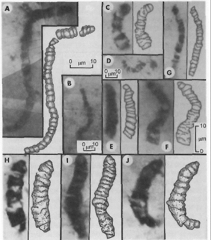 Sporné nejstarší podoby života (Schopf, 1993/2006) se podobaly dnešním sinicím