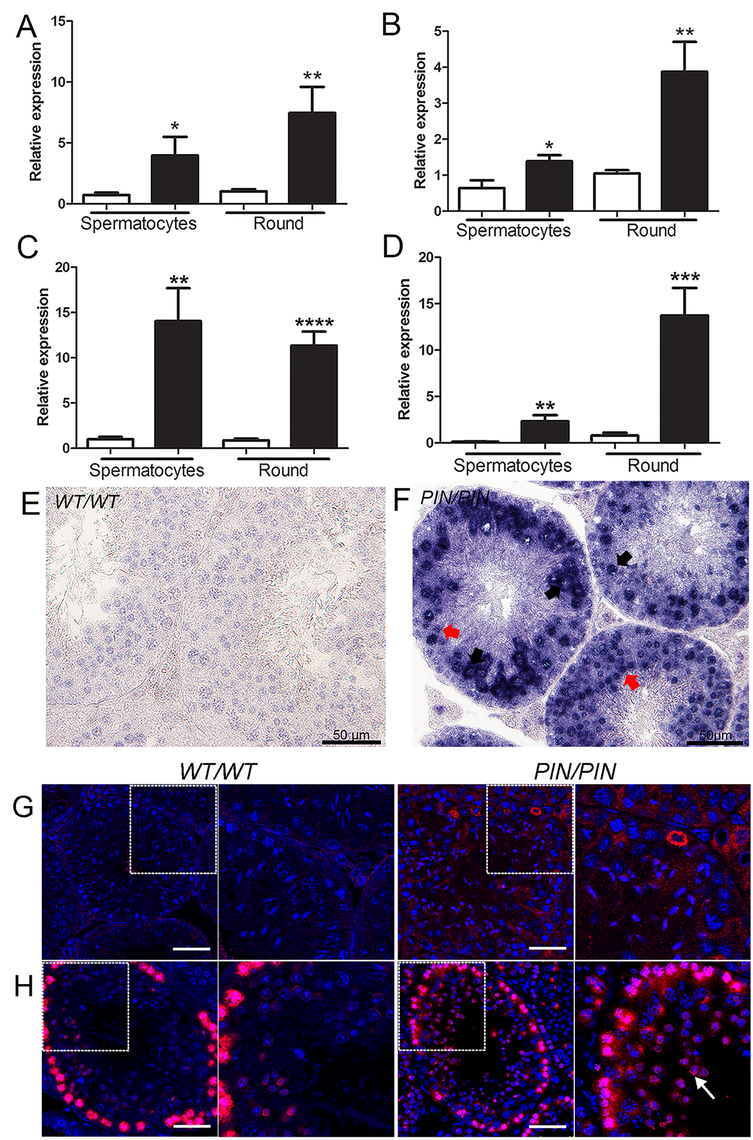 HENMT1 is required for the repression of <i>Line-1</i> and <i>IAP</i> retrotransposons in spermatocytes and round spermatids.