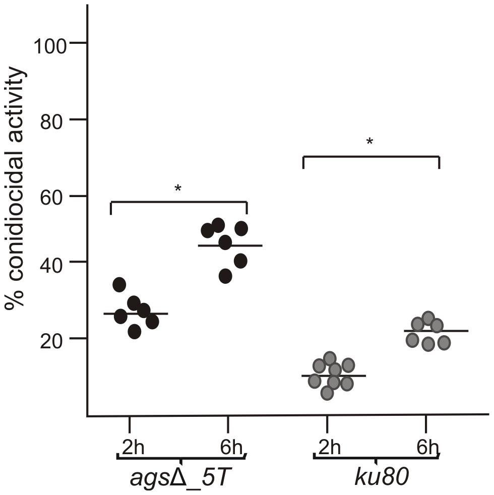 Conidiocidal activity of macrophages isolated from uninfected p47<i><sup>phox</sup></i><sup>−/−</sup> mice against resting conidia of <i>ags</i>Δ_<i>5T</i> and parental (<i>ku80</i>) strains.