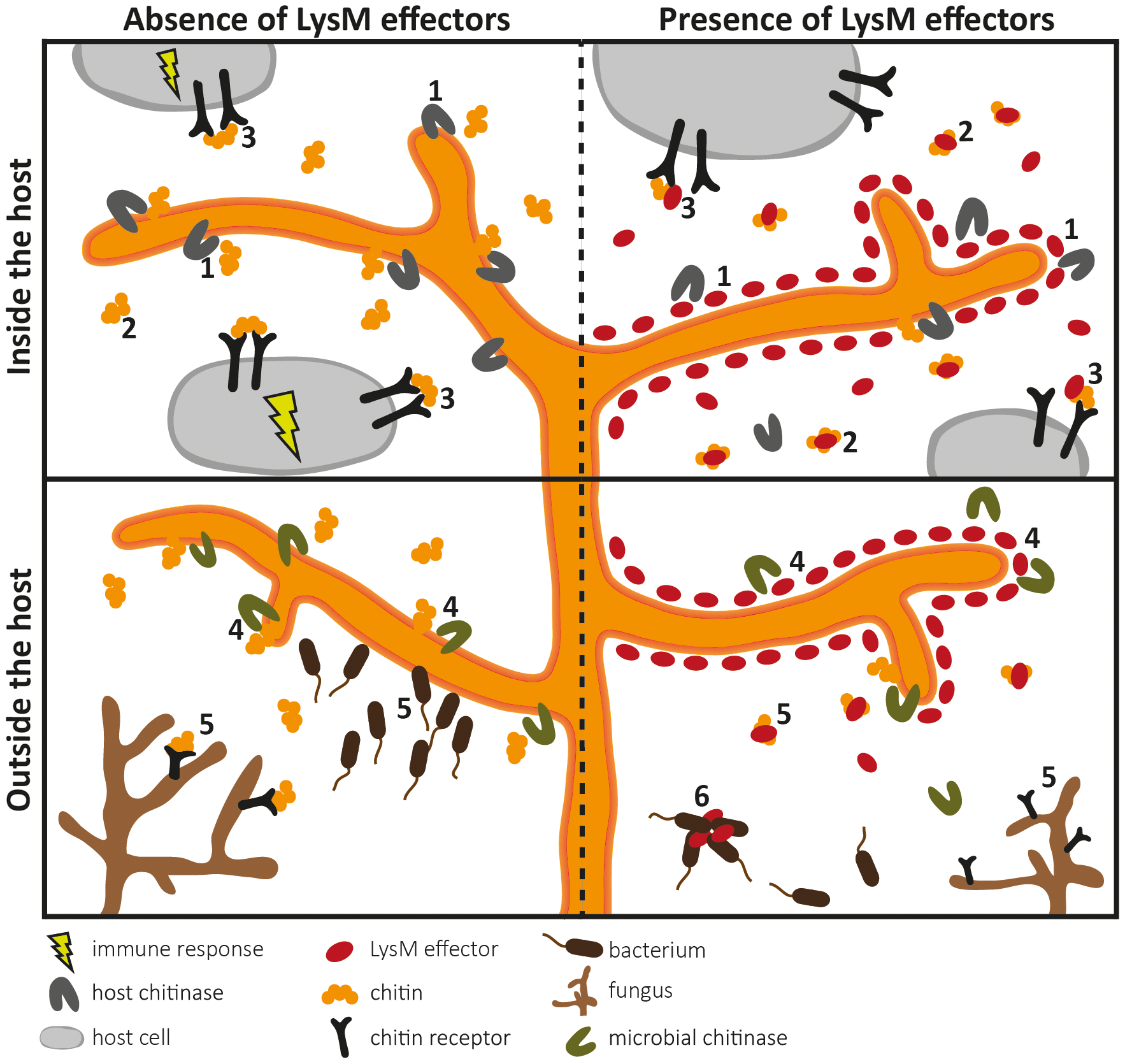Overview of the diverse roles that fungal LysM effectors may play in fungal physiology.