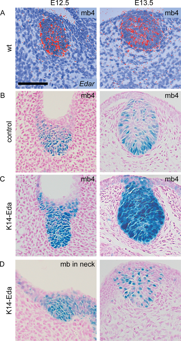 <i>Edar</i> expression and NF-κB reporter expression co-localize in the mammary epithelium.