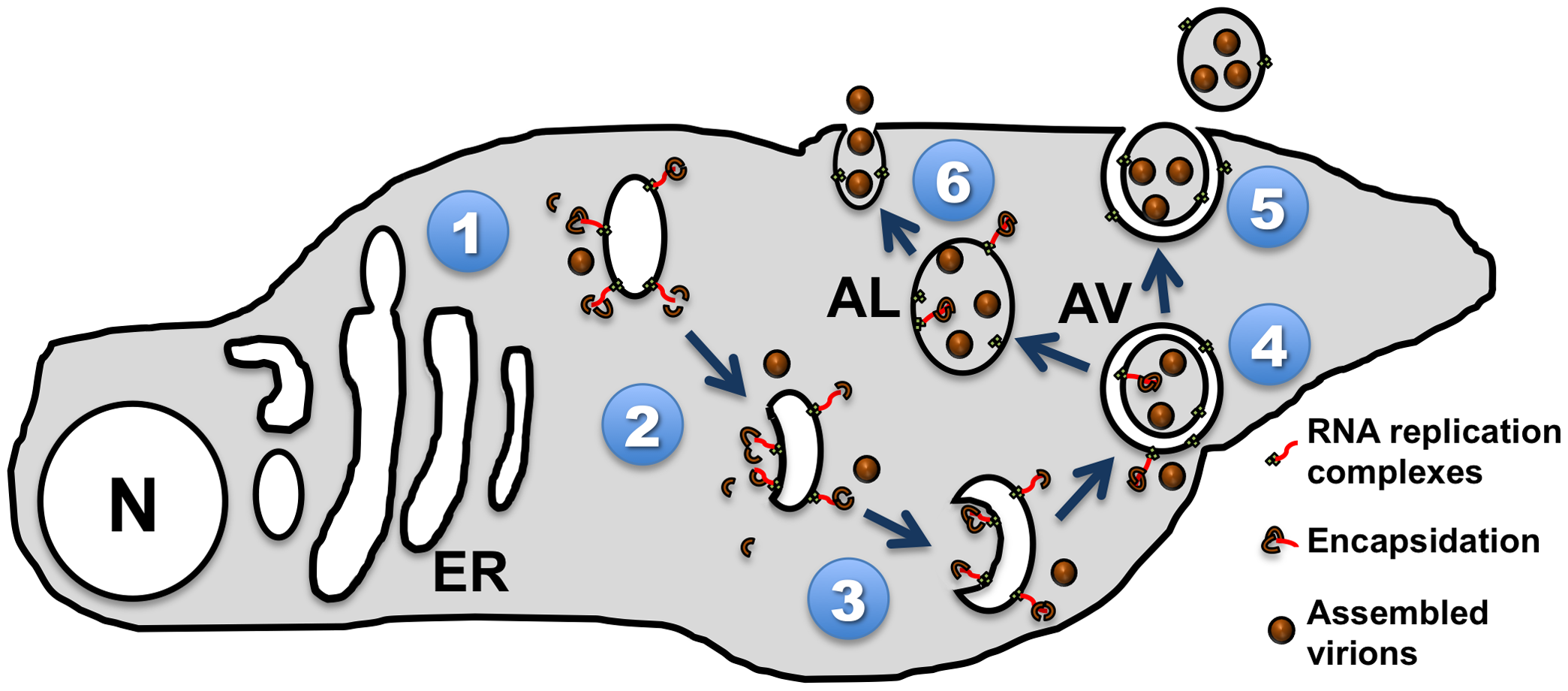Model of picornavirus interactions with cellular membranes and vesicles.