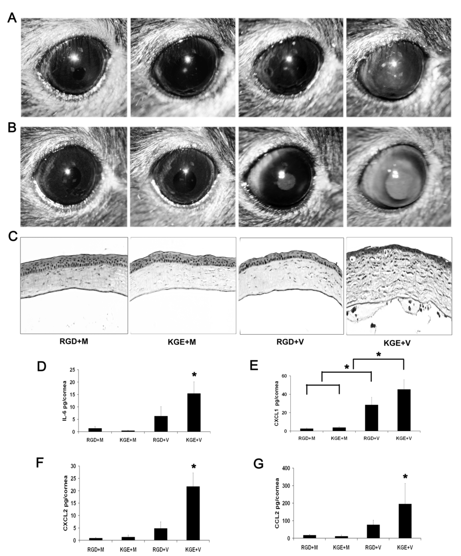 RGD inhibits leukocyte infiltration and cytokine expression in the adenovirus infected cornea.