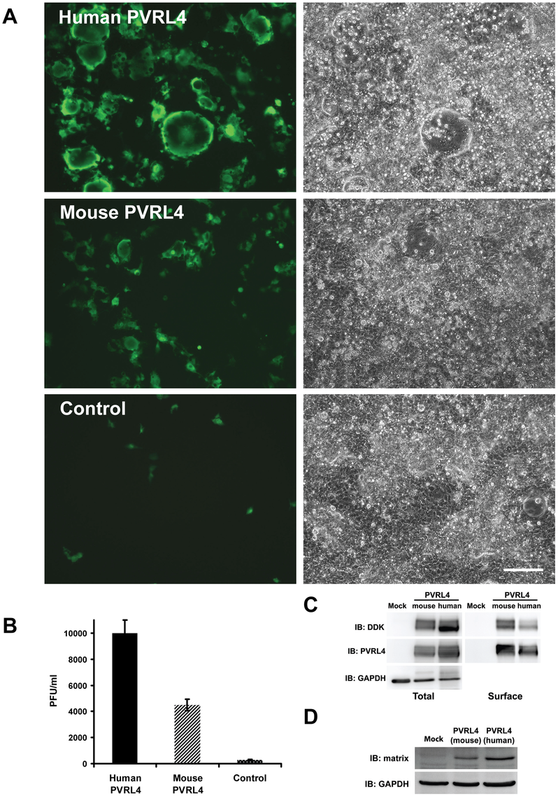 Mouse PVRL4 functions less efficiently as a MV receptor than the human homologue.
