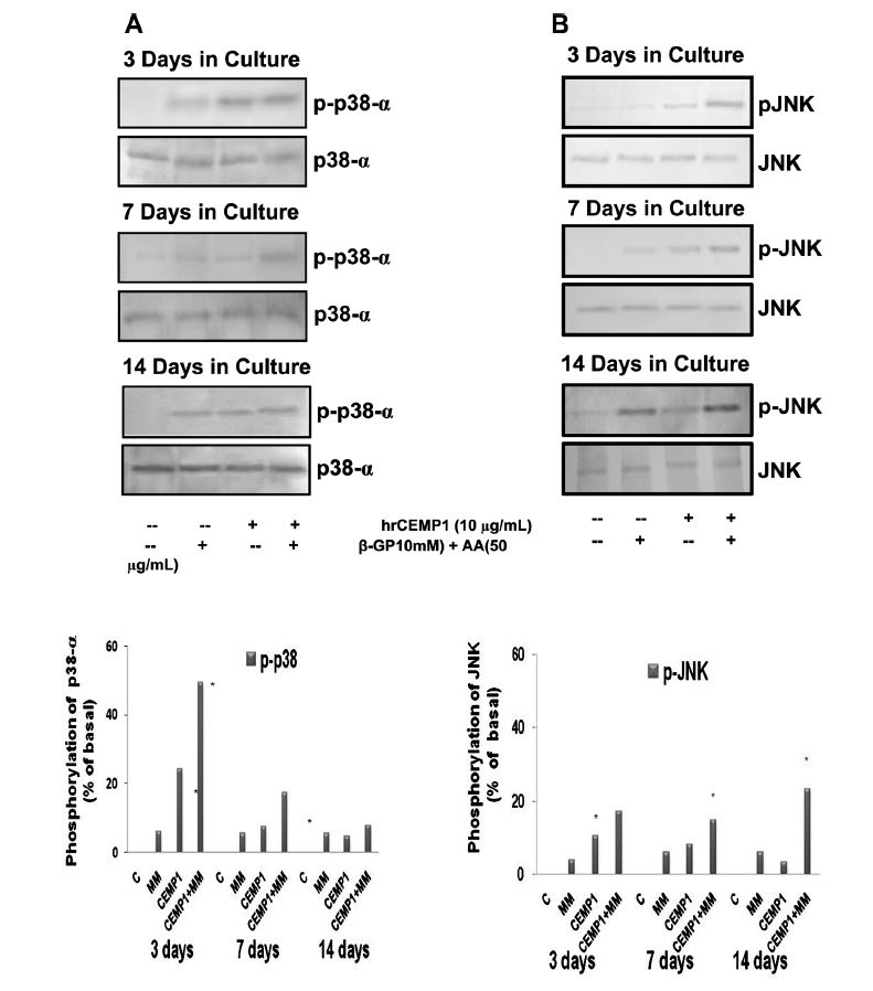 Figure 2. Effect of hrCEMP1 on phosphorylation of p38-α, and JNK in HCDC grown under mineralisation conditions. HCDC were exposed to hrCEMP1 (10μg/mL) and/or mineralising media for 3, 7 and 14 days. The medium was replaced every other day and phosphorylation was determined by Western blot analysis. (A) p-38-MAPK phosphorylation and (B) JNK–MAPK phosphorylation. The activation of p38 and JNK is observed over time and synergistic effect is observed with hrCEMP1 plus mineralising media. n=3 *P<0.05.