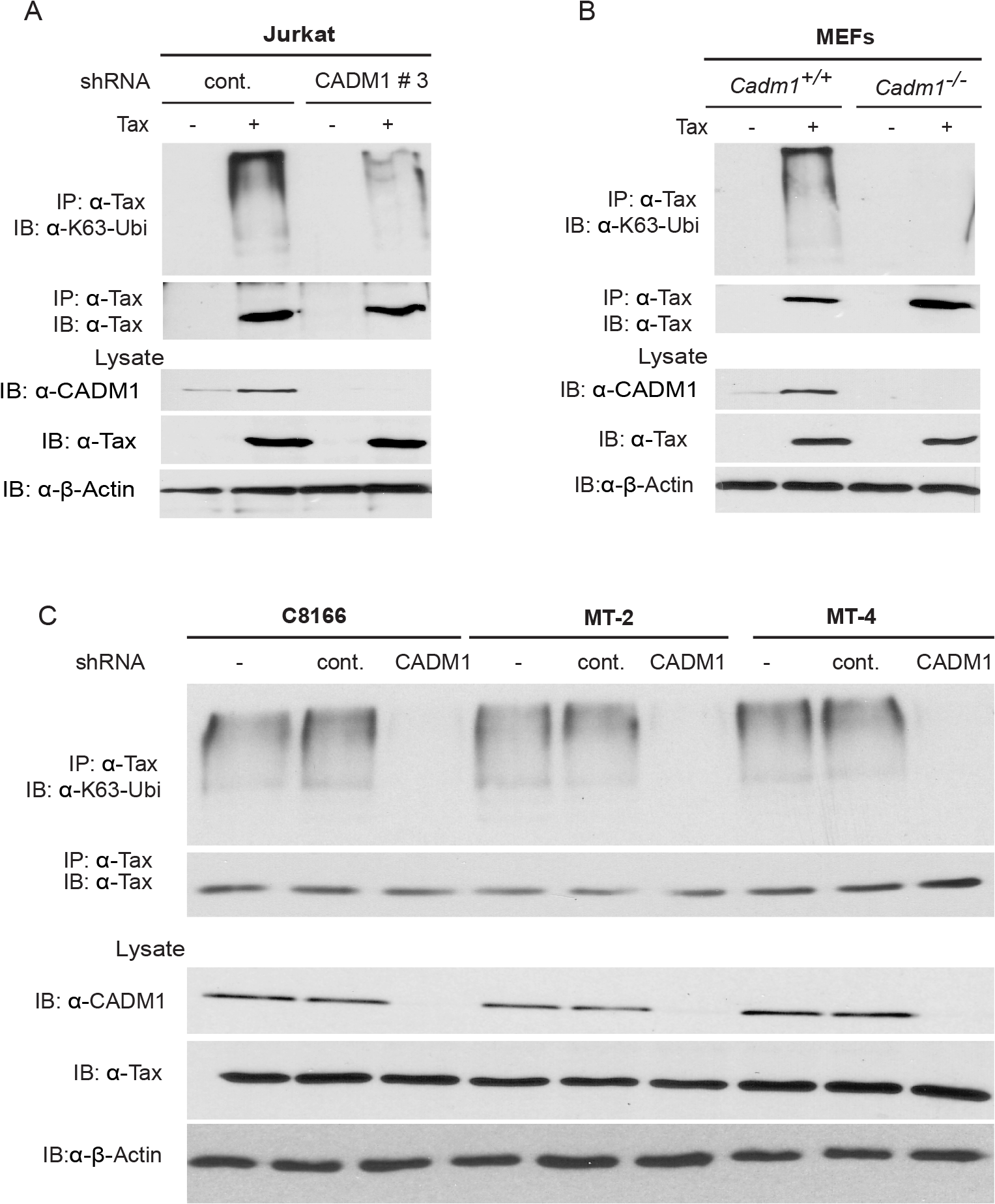 CADM1 is required for Tax K63-linked polyubiquitination.